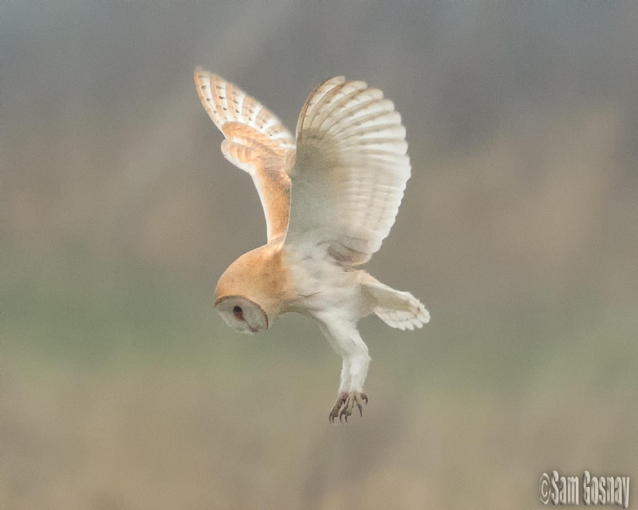 Hunting Barn Owl by wessyfiesta
