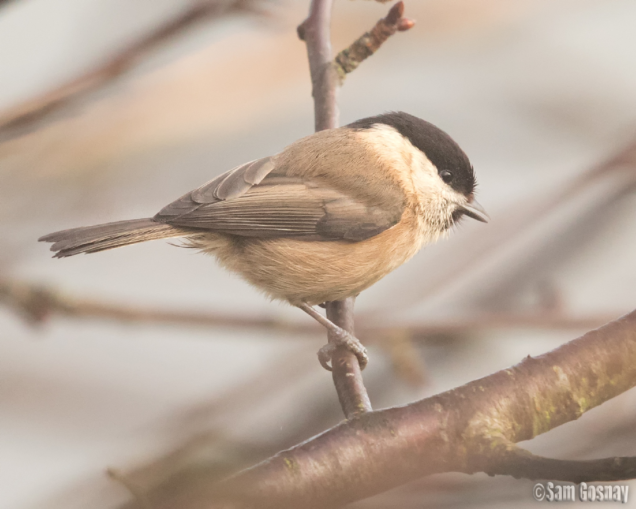 Willow tit by wessyfiesta