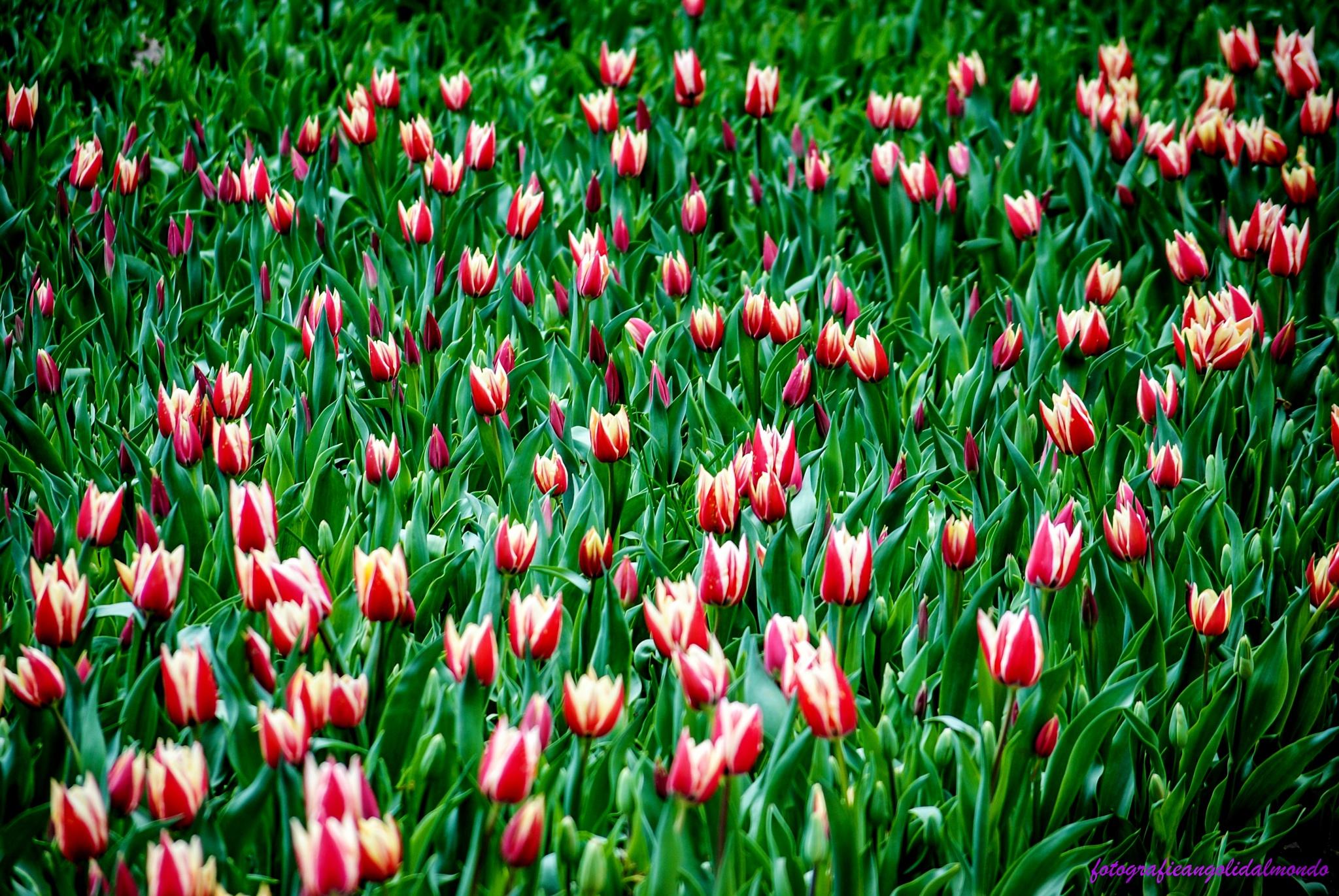 Tulipani by perpaulo40