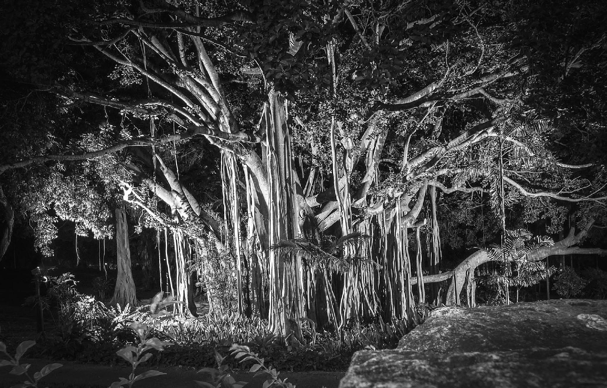 Moreton Bay Fig Tree by Lynnie taylor