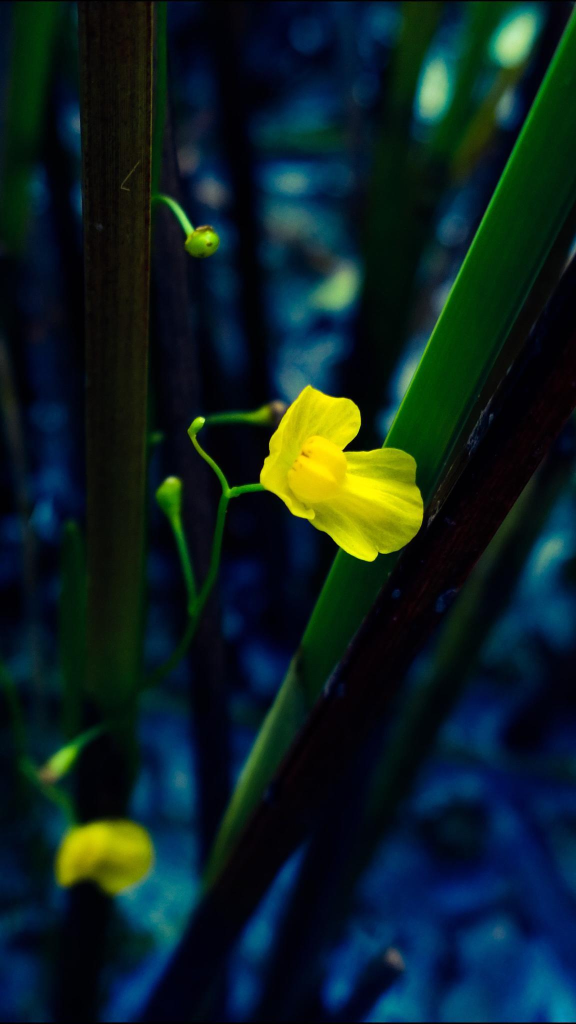 Photo in Nature #utricularia aurea #golden bladderwort #carnivorous plant #flower #yellow #lentibulariaceae #plant