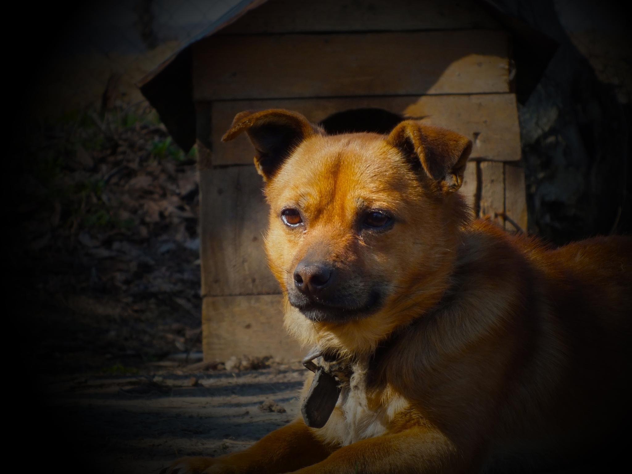 Guardian dog by Silviu Calistru