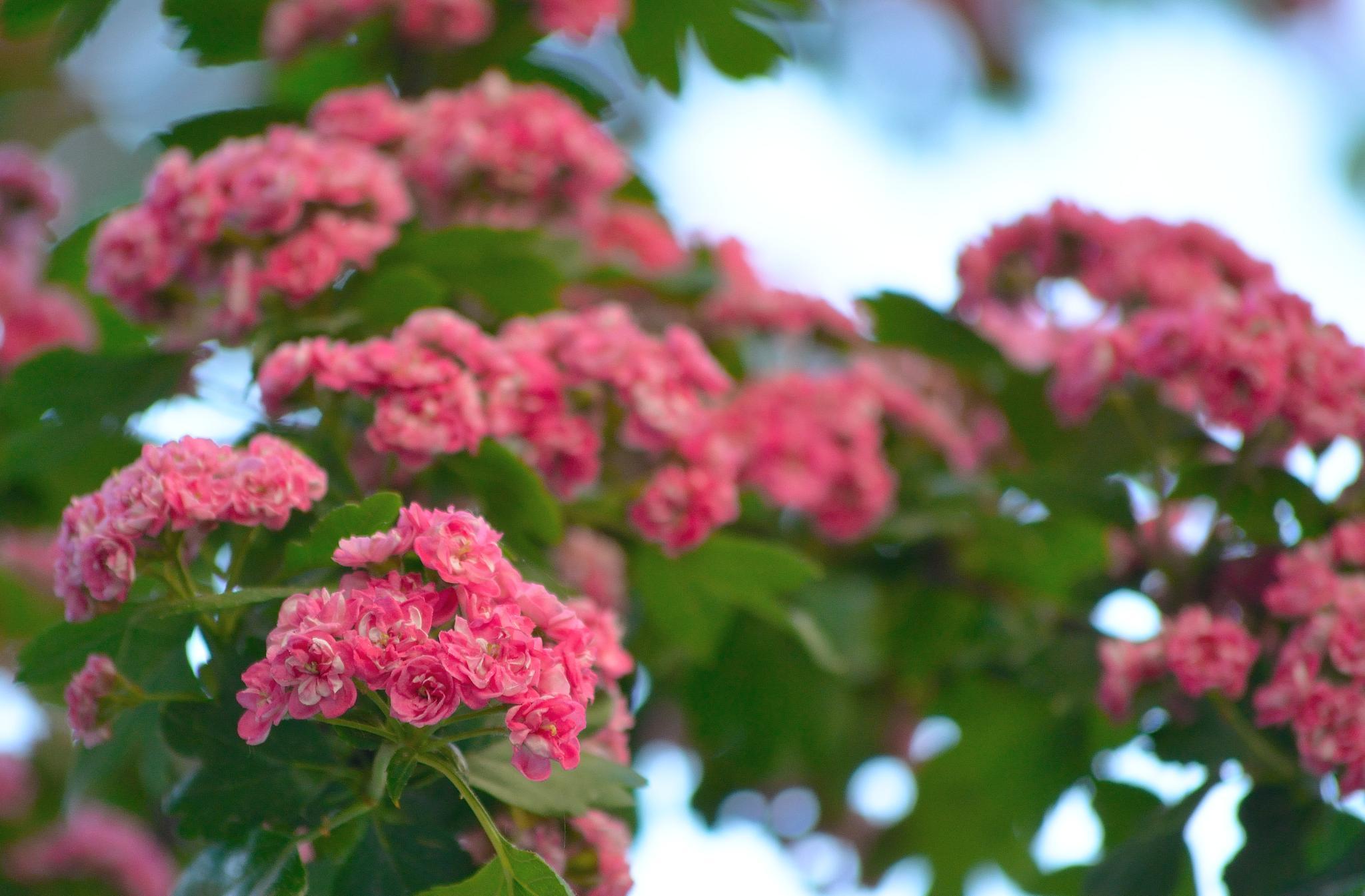China roses by Silviu Calistru