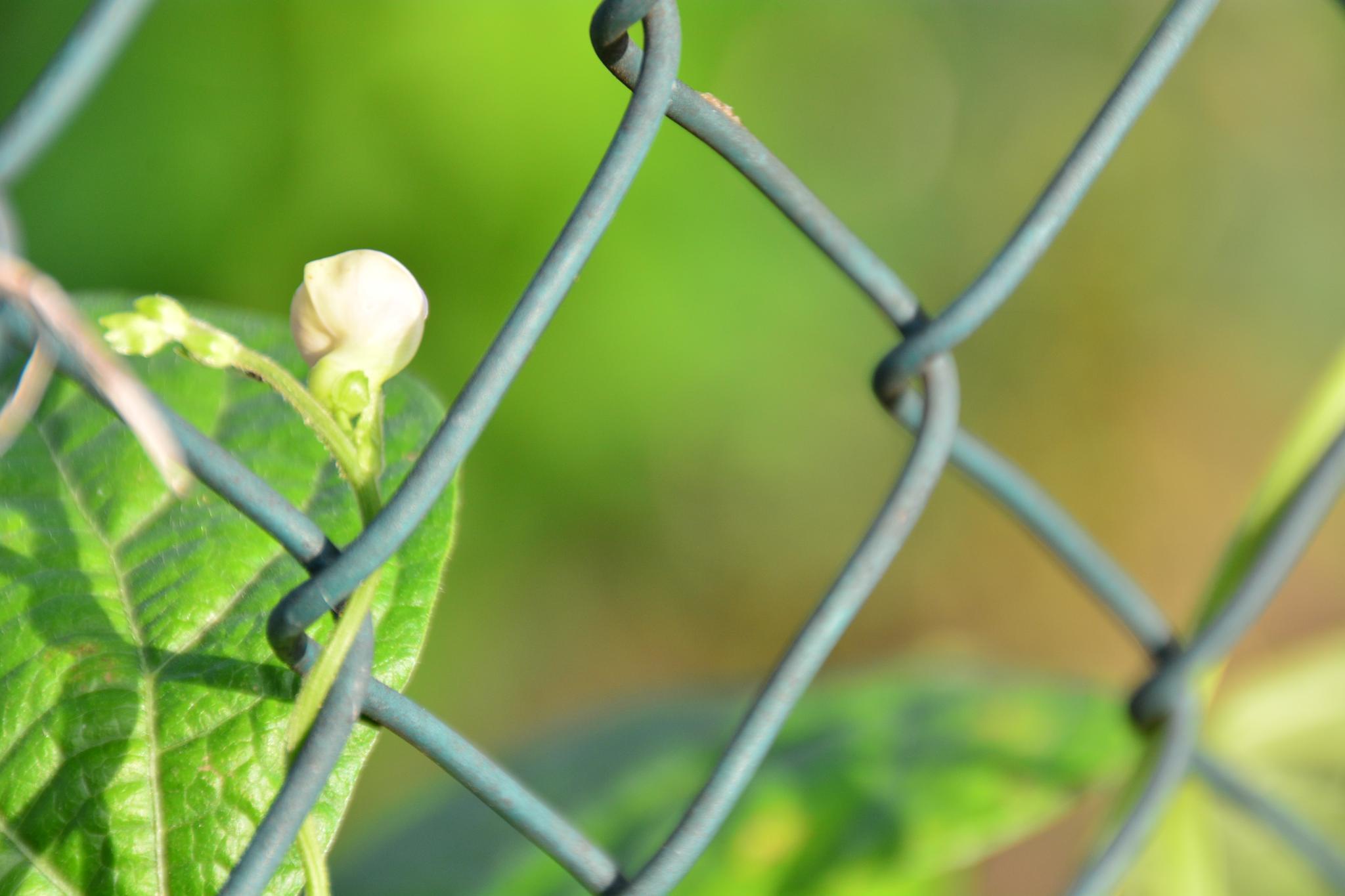 Bean flower by Silviu Calistru