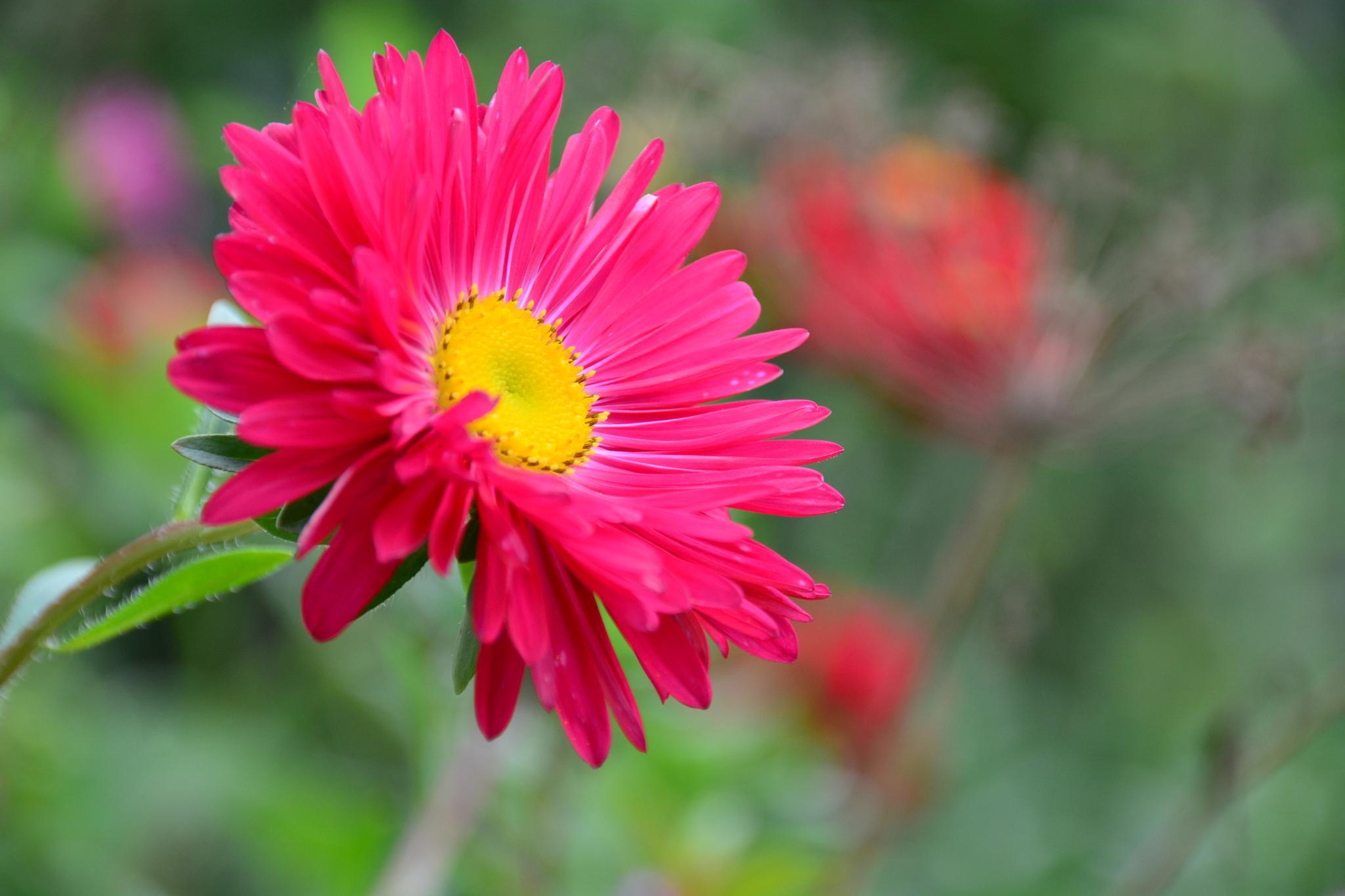 Red flower by Silviu Calistru