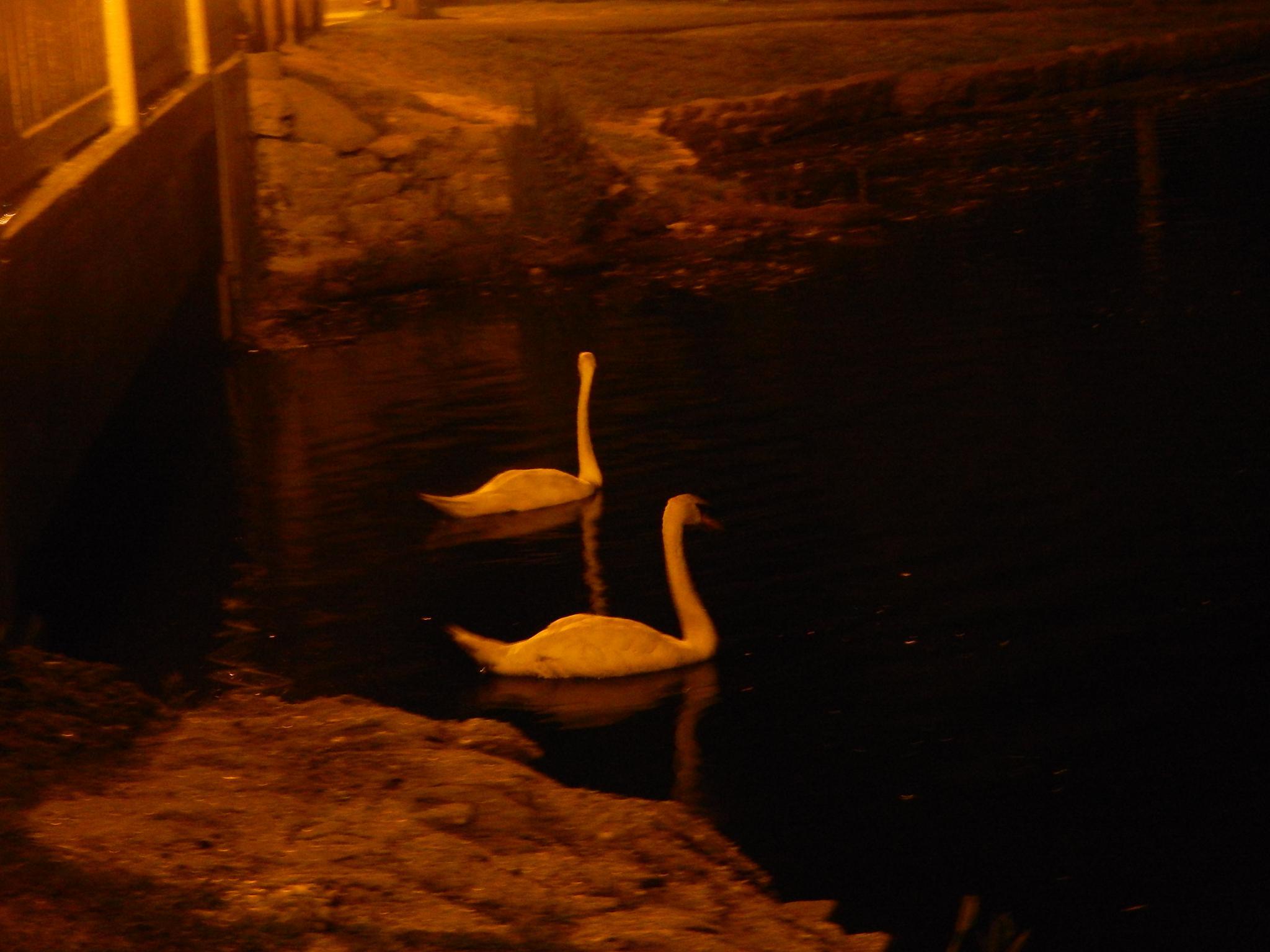 Ducks on Argyle Lake  by mythree03