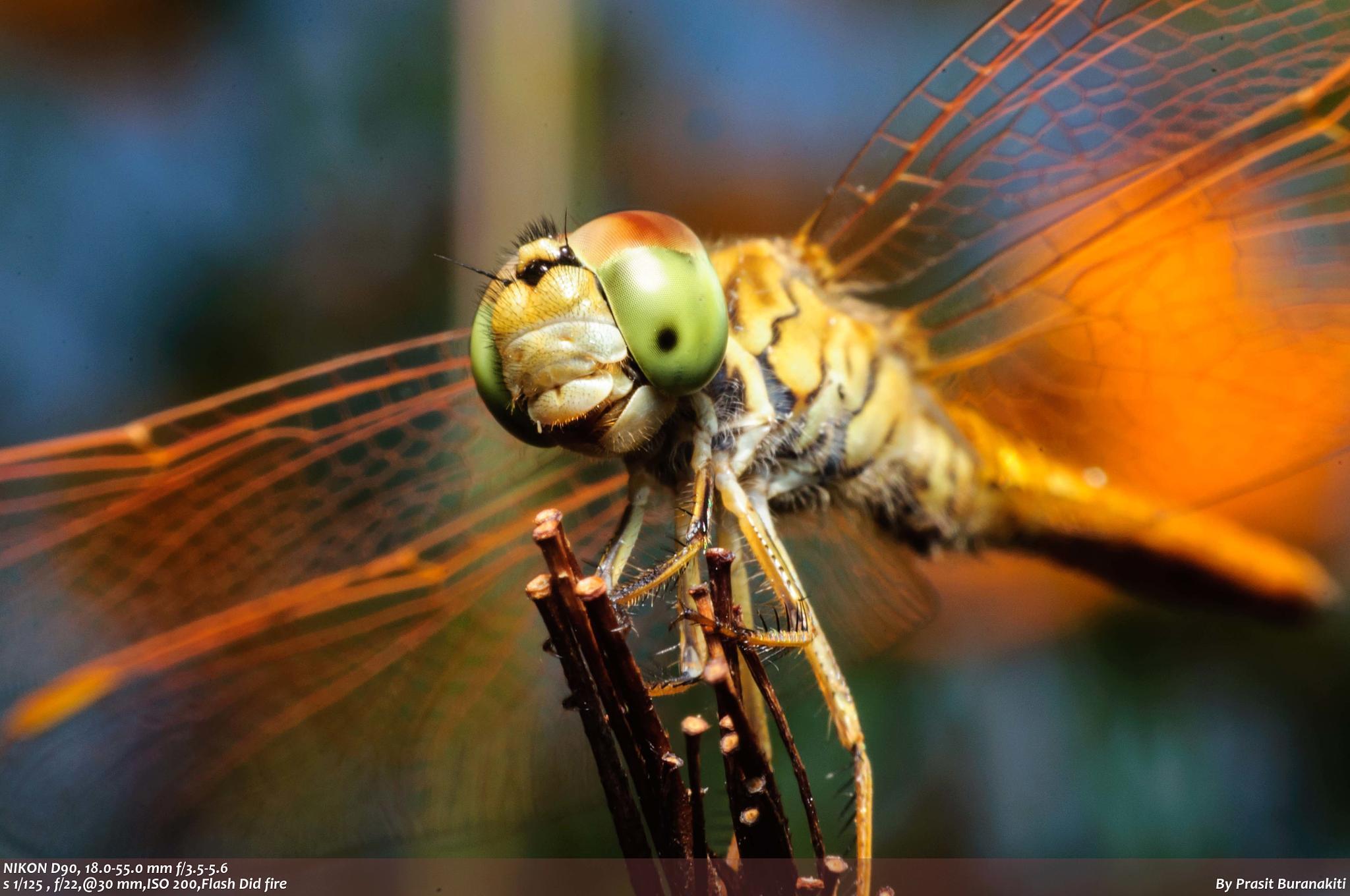 dragonfly by Prasit Buranakiti