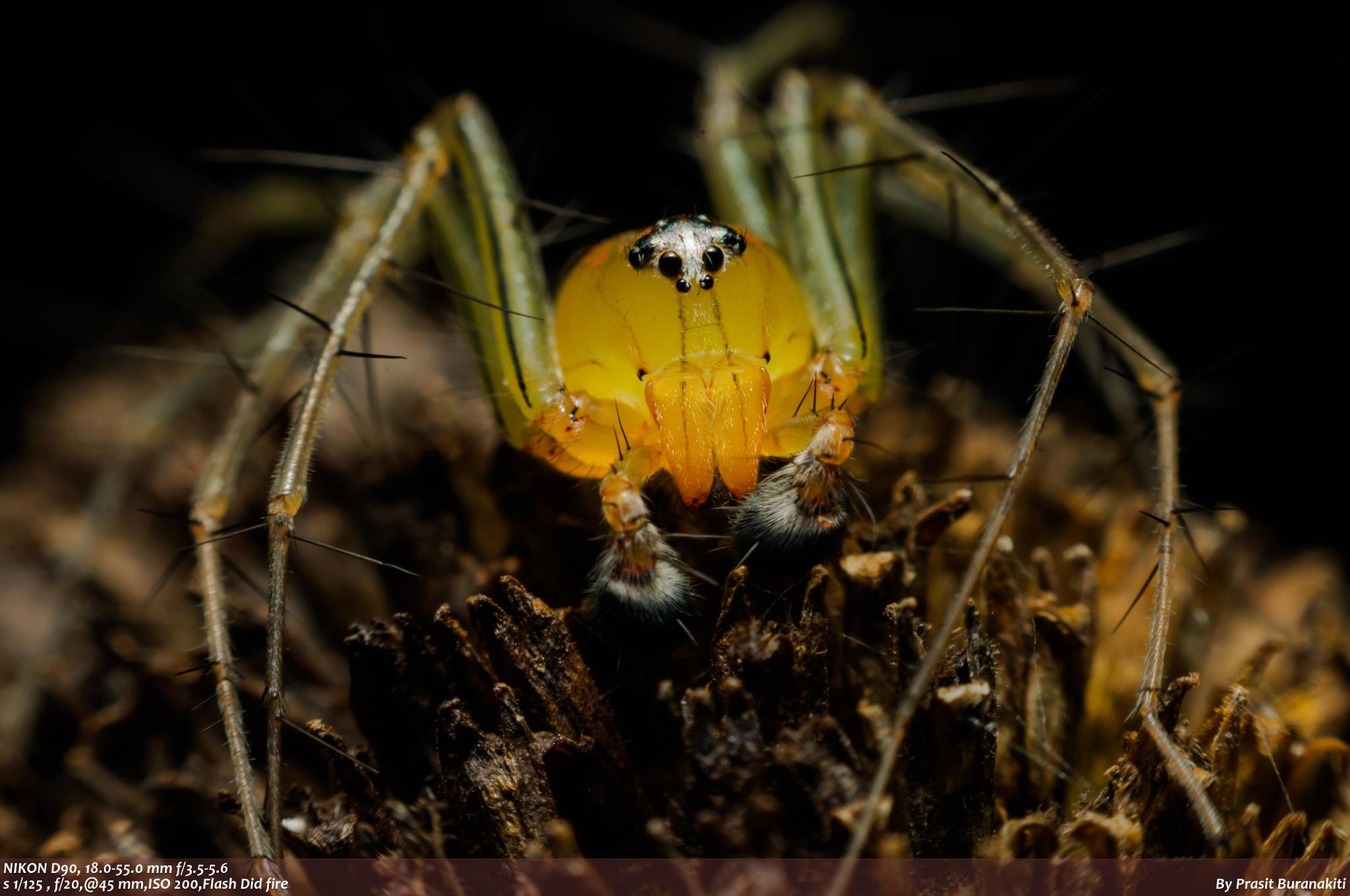 """Lynx"" Jumping spider by Prasit Buranakiti"
