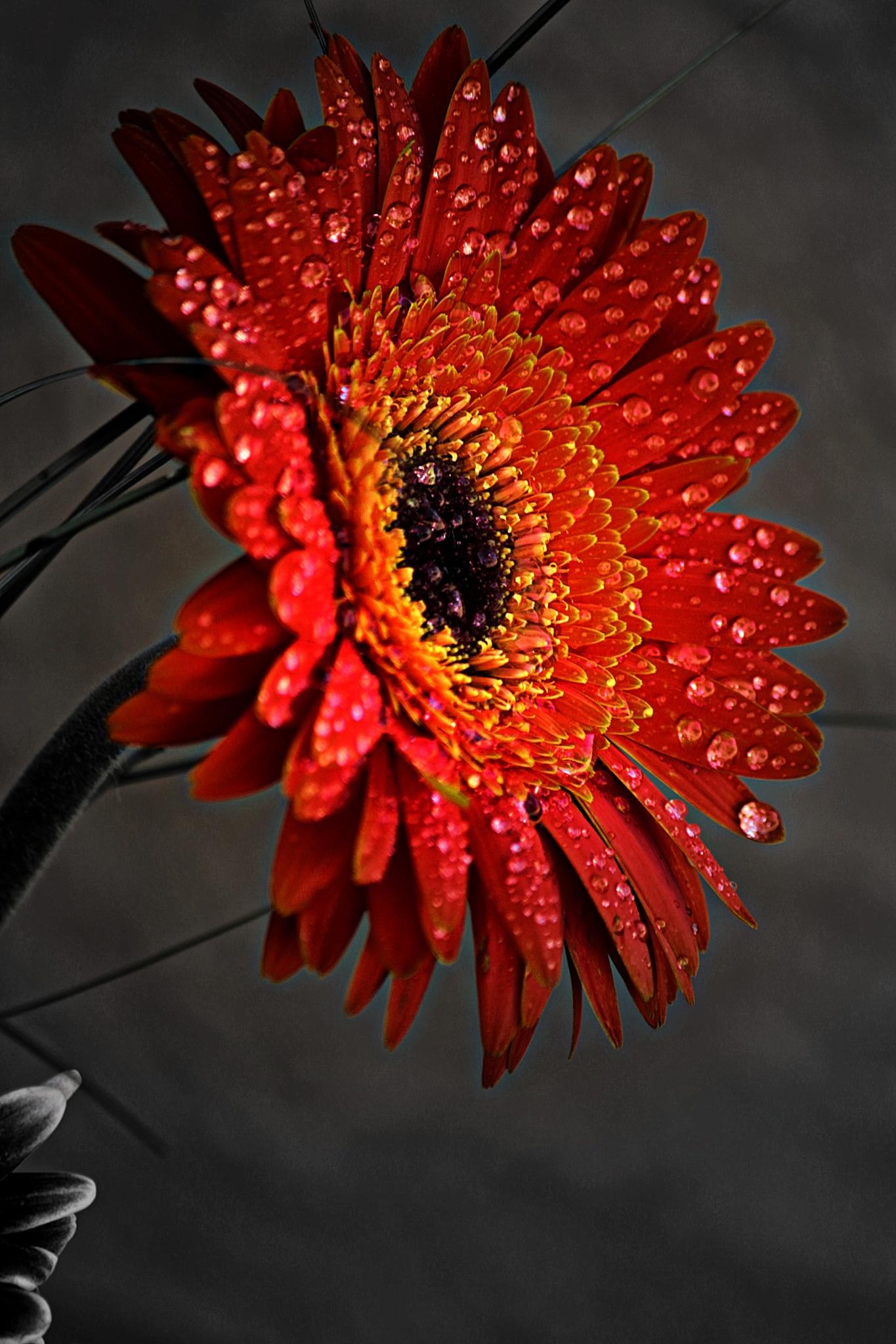 Photo in Nature #flower #colors #outdoor #naturewater #drops #garden #simon maxx studio #photography