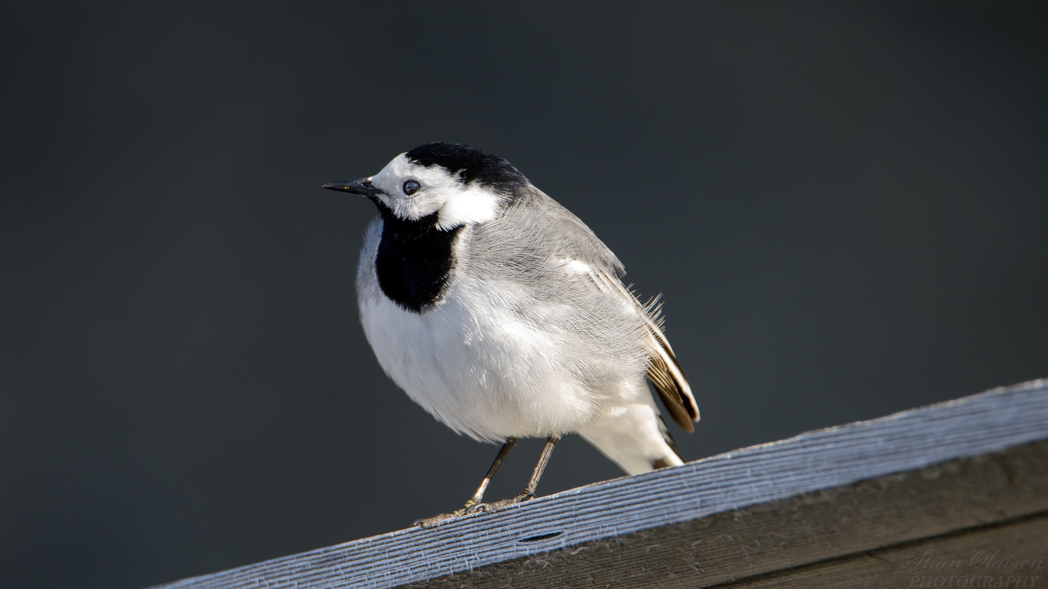Wagtail by Stian Olaisen