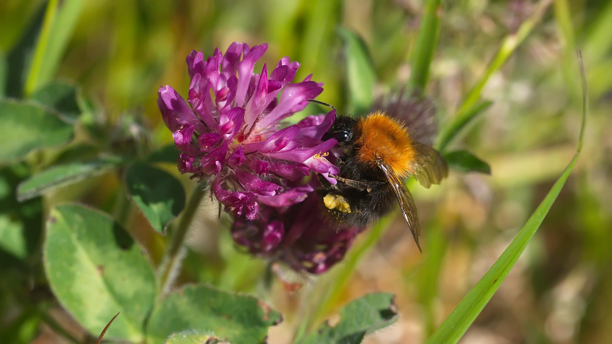 bumblebee in purple by Stian Olaisen