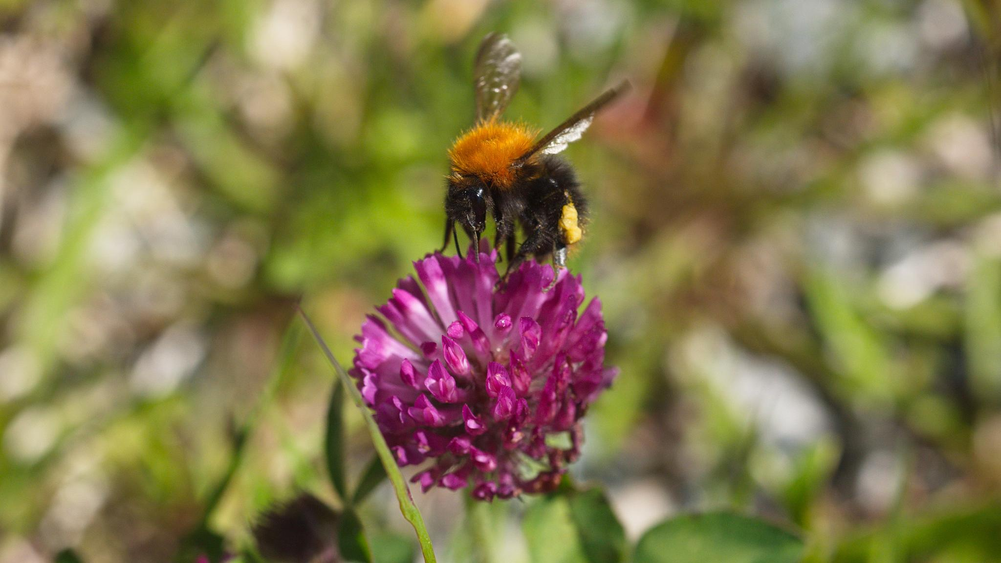 bumblebee on top of the world/flower by Stian Olaisen