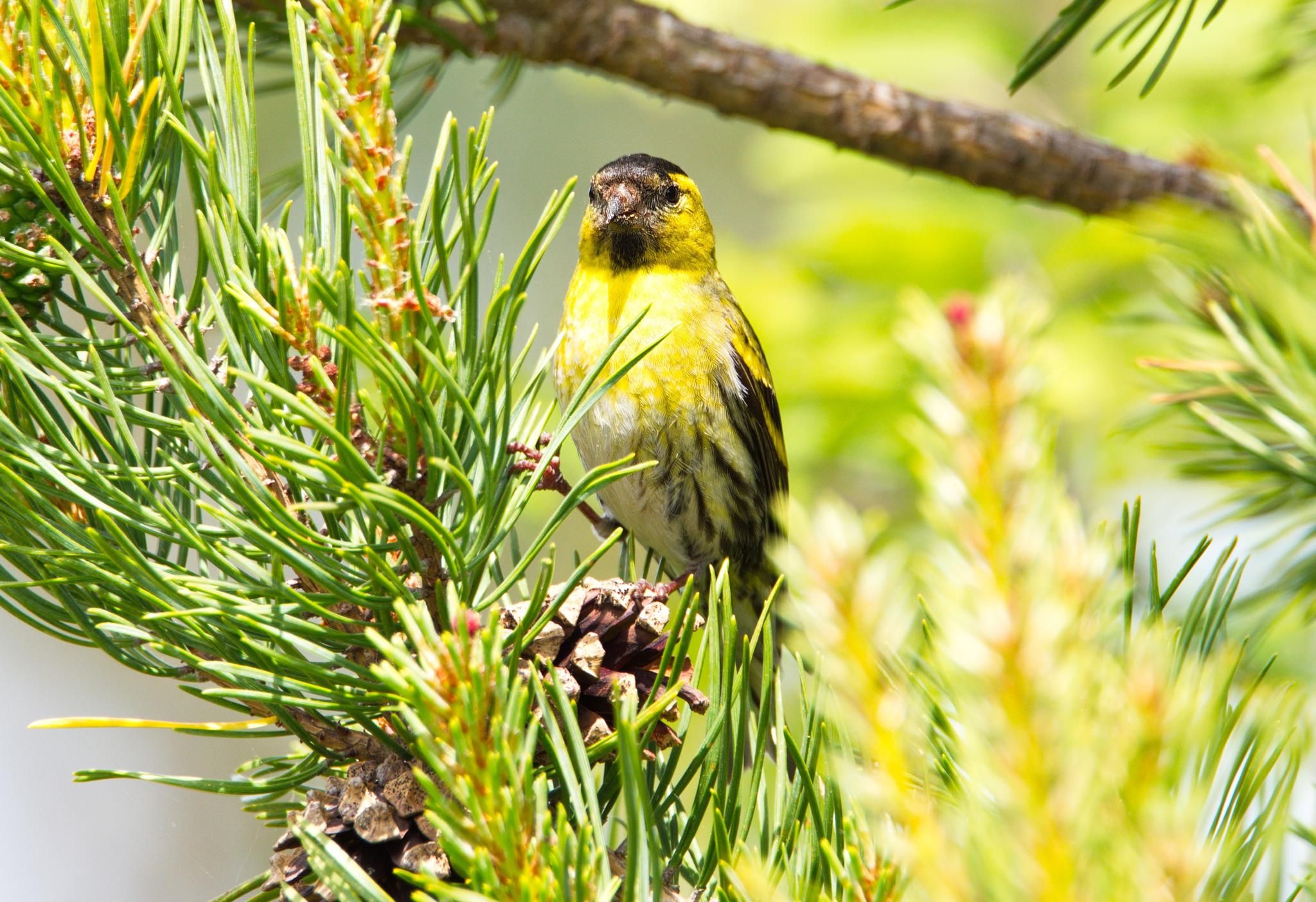 Greenfinch in the sun by Stian Olaisen