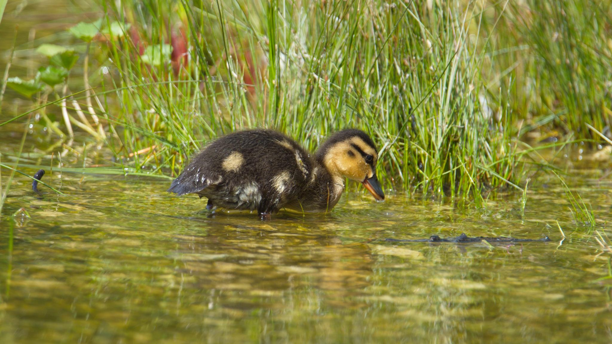 Duckling searching? by Stian Olaisen