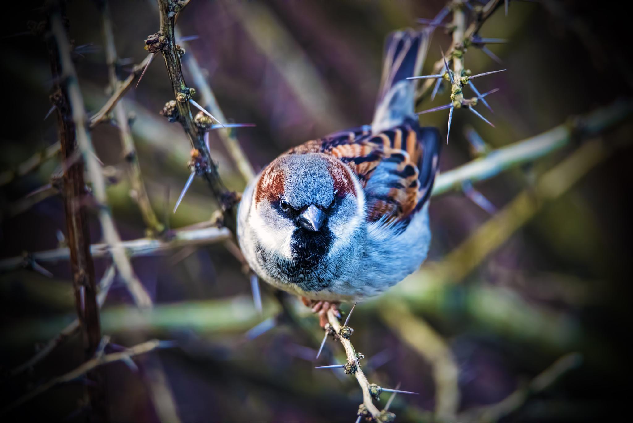 Sparrow-spikes by Stian Olaisen