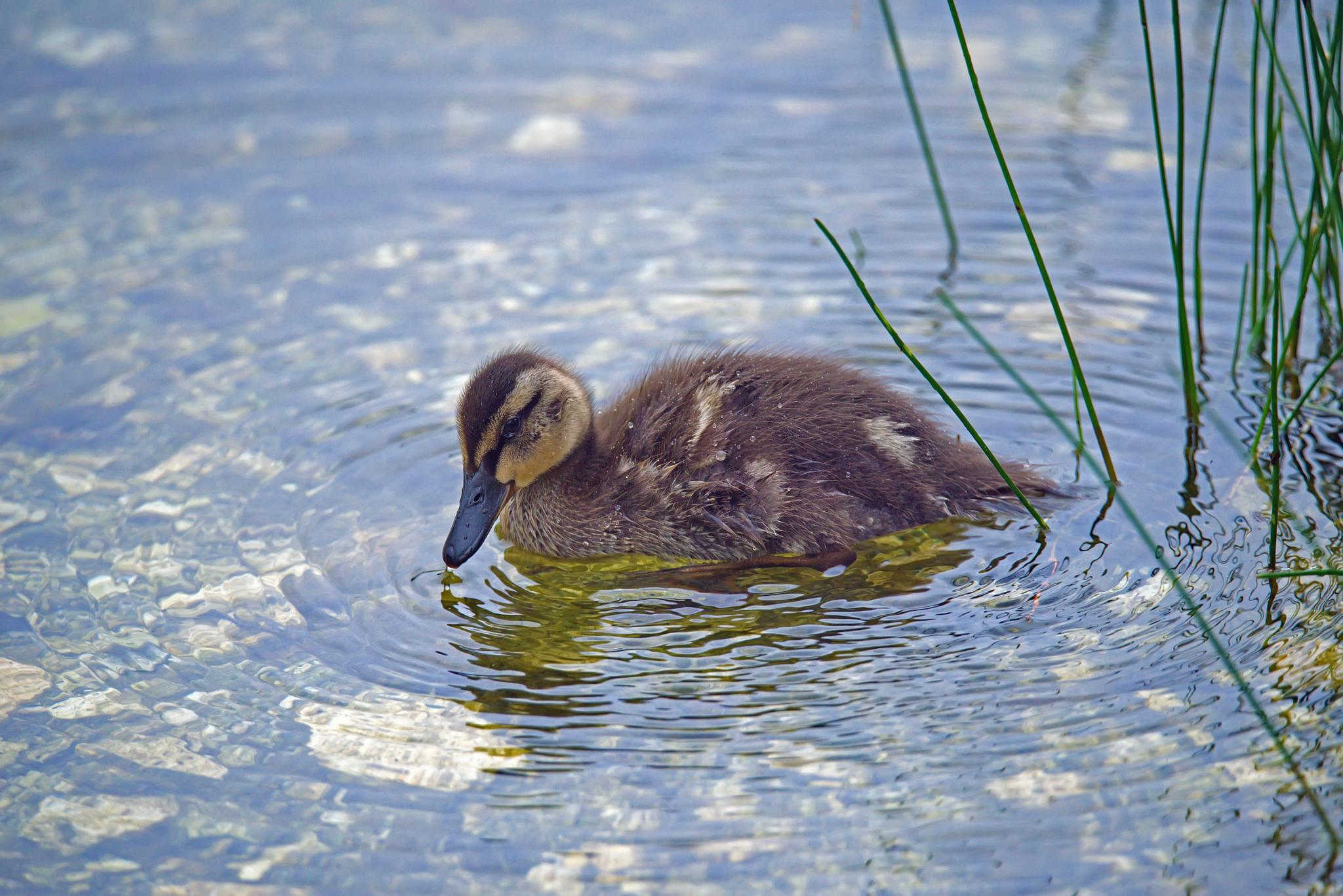 baby duck drinking by Stian Olaisen