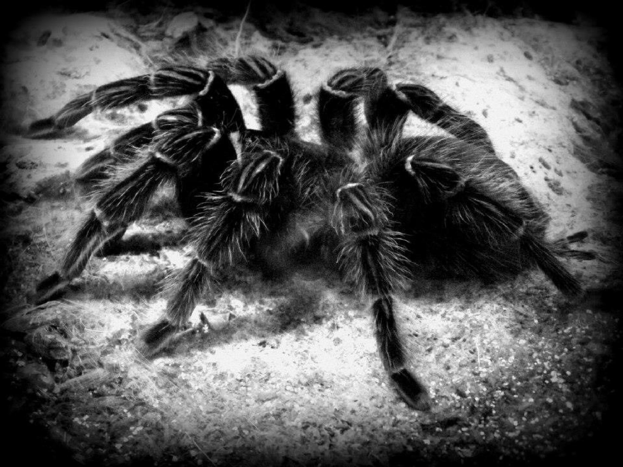 Spider by aggiej08
