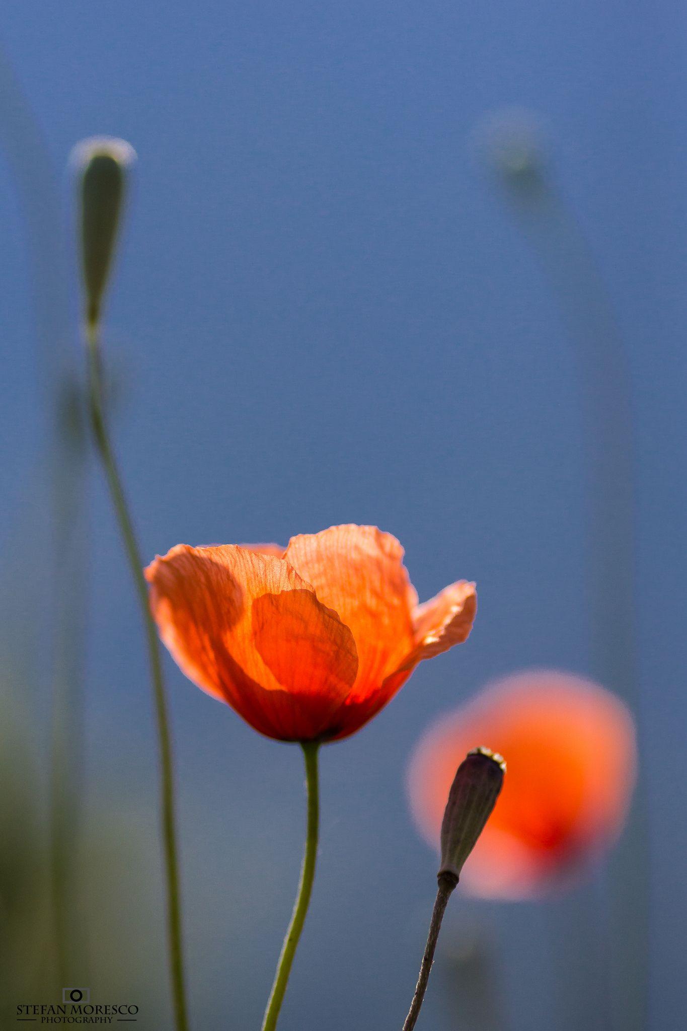 poppy by Moresco Stefan