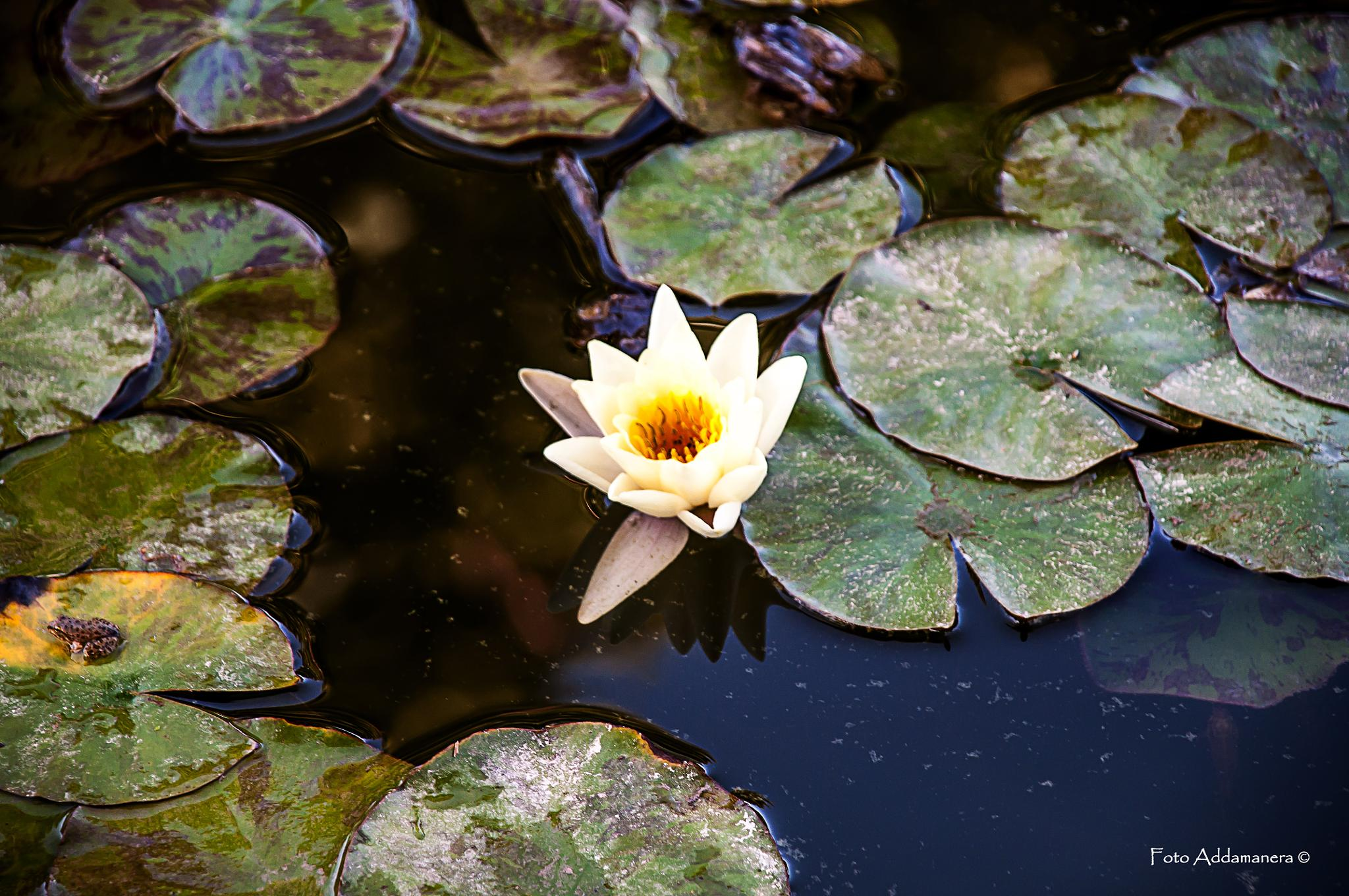 The frog & the waterlily by maurizio.tuccio