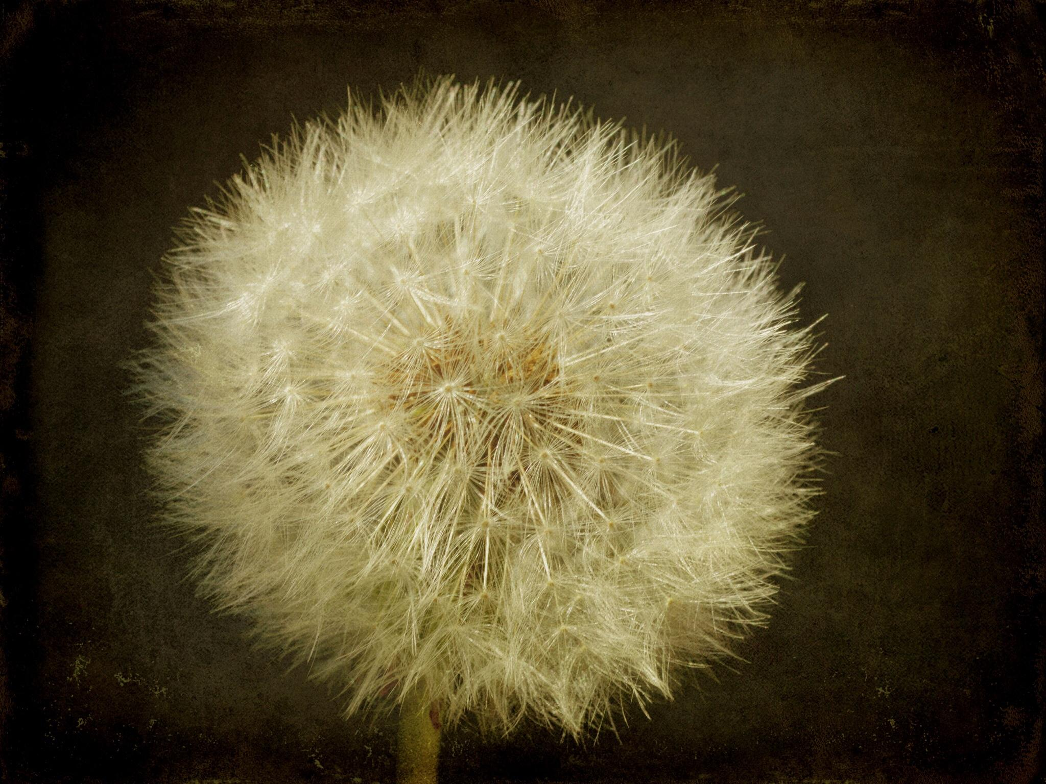 Textured Dandelion by slcouzens