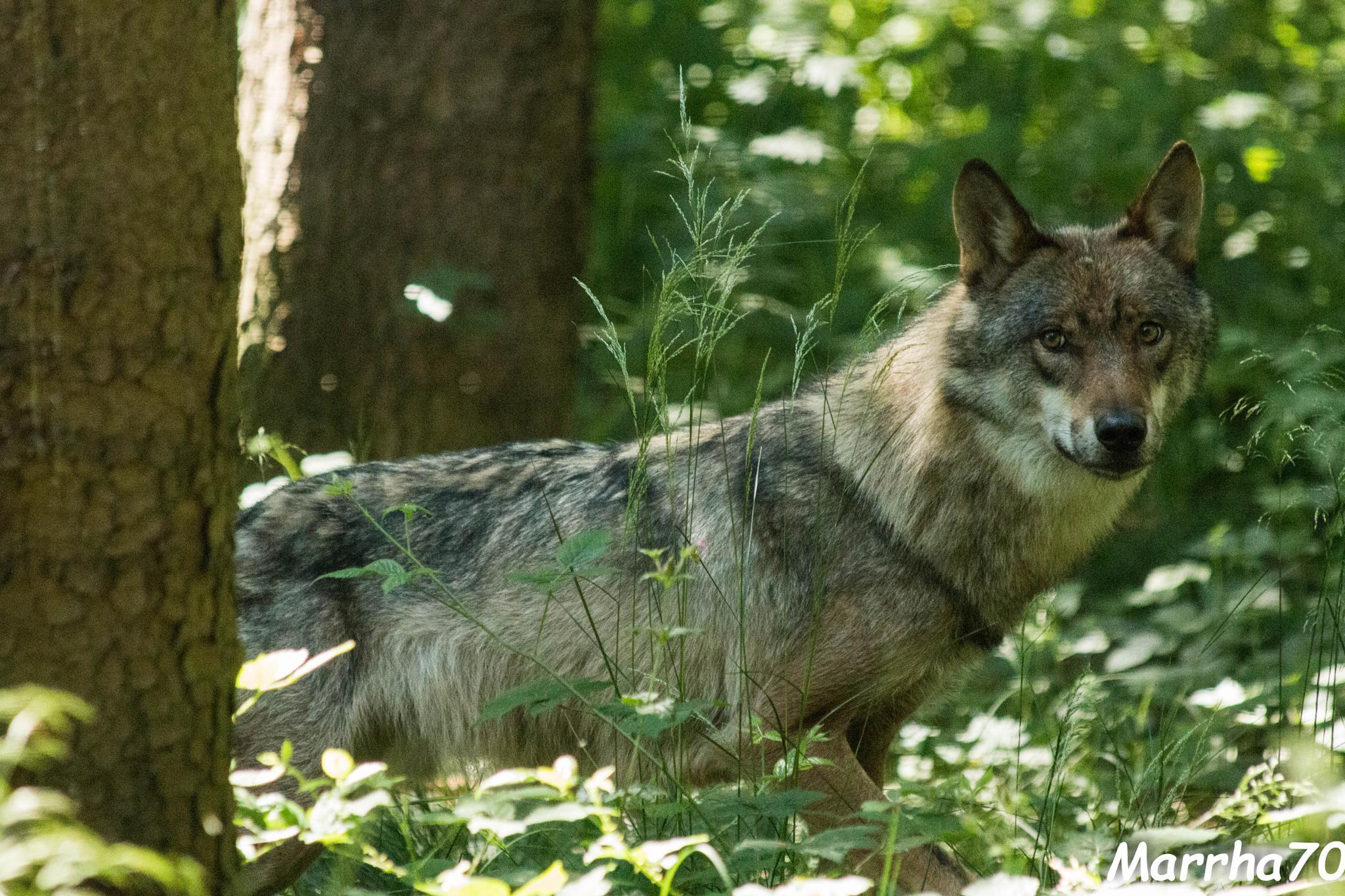 Big bad wolf... by marrha70