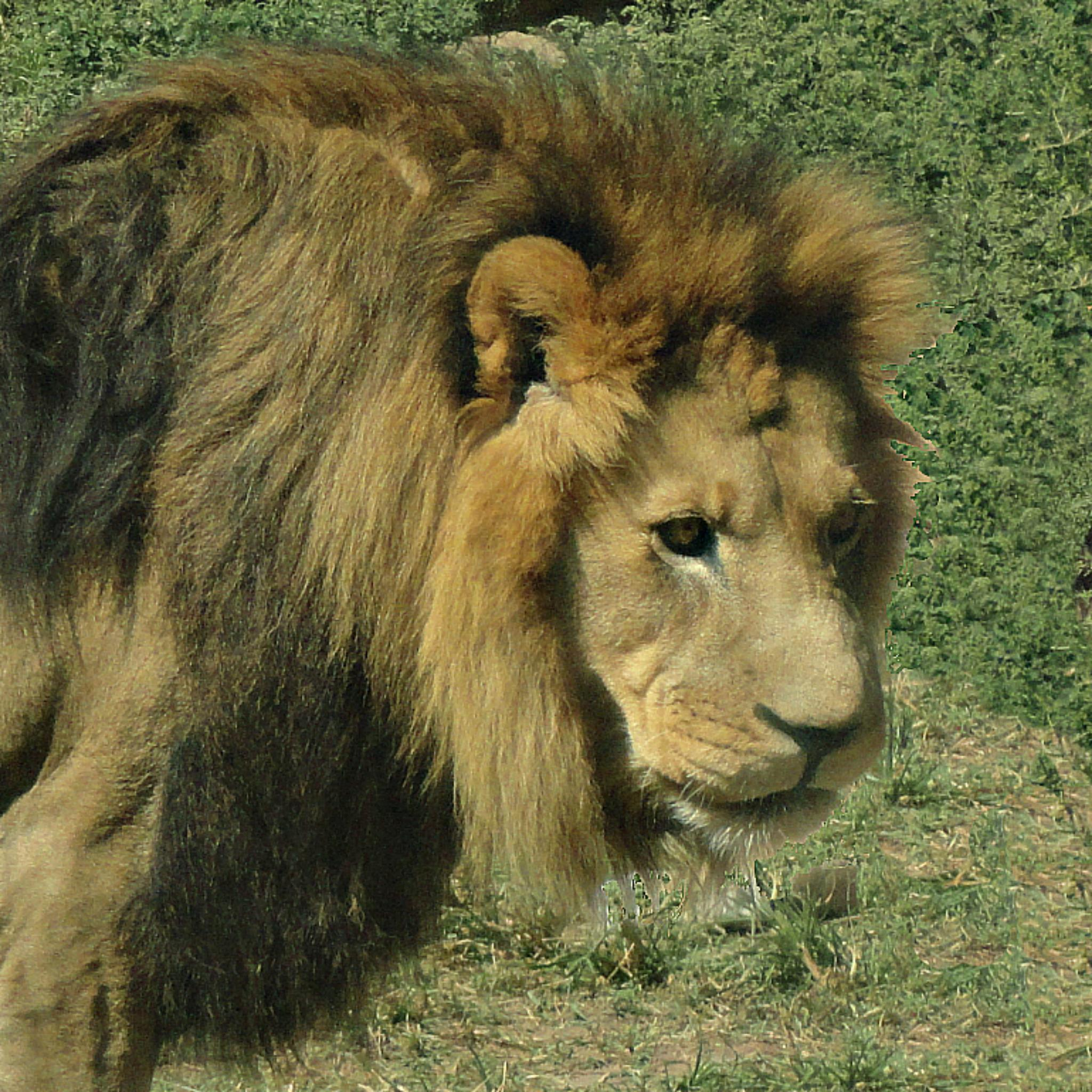 King Leo by Lione'sLens