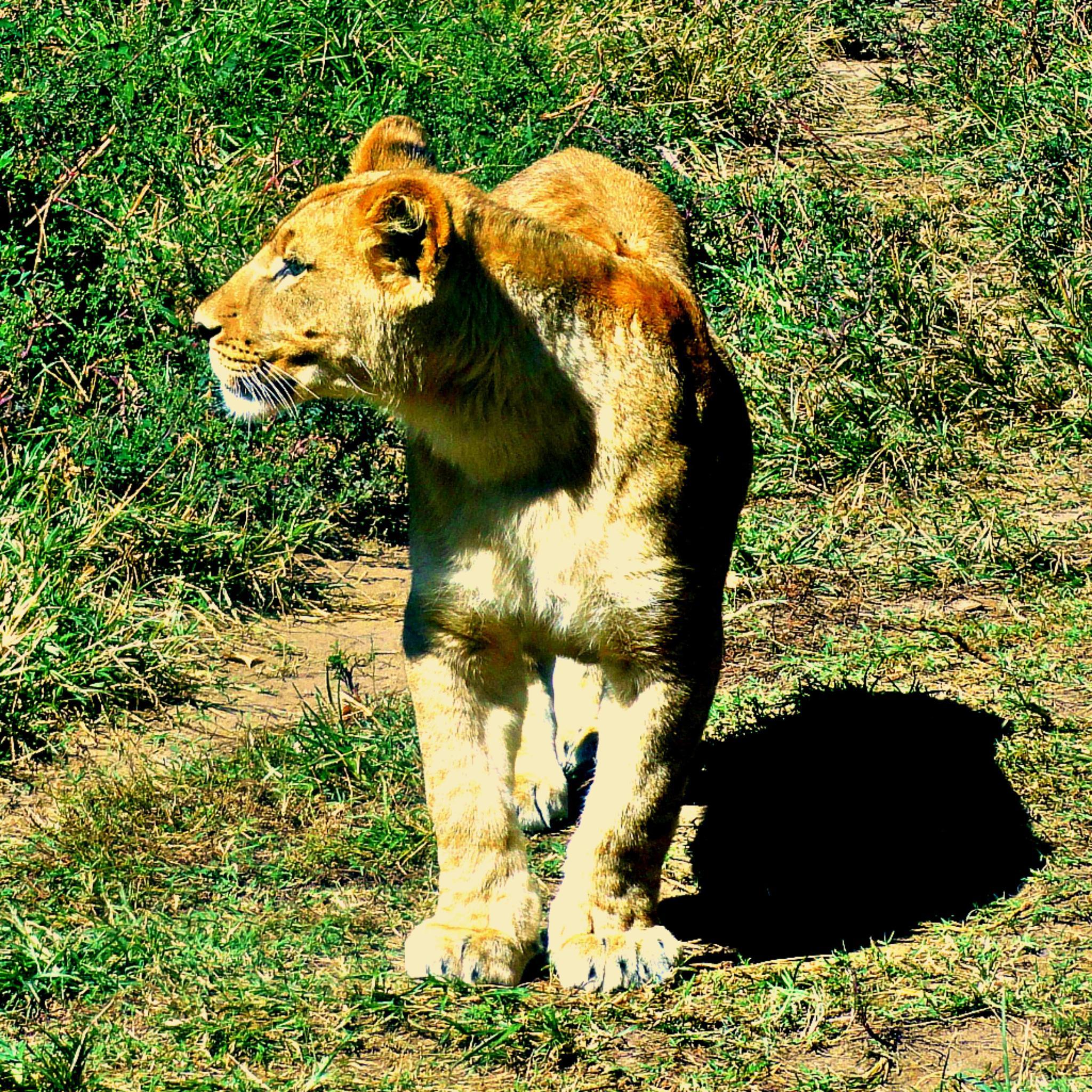 Lioness by Lione'sLens