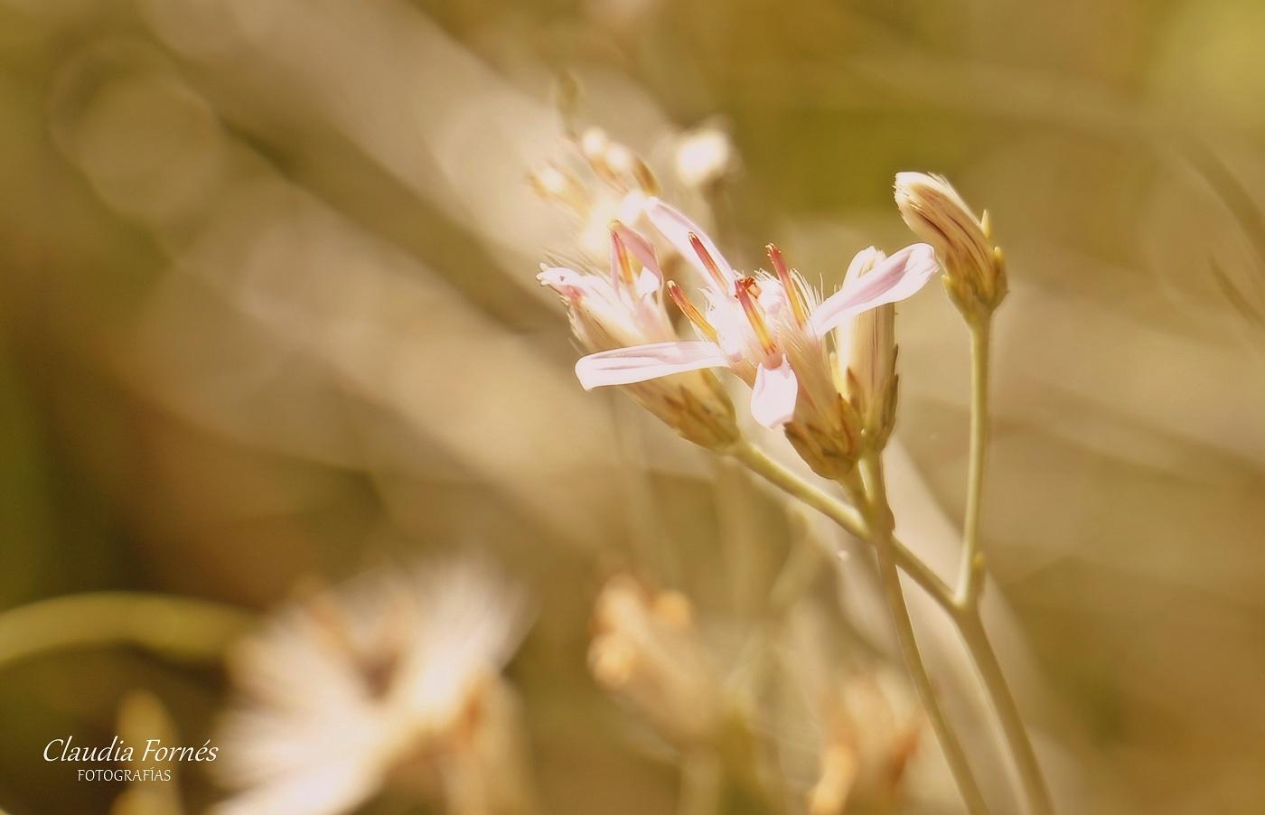 Flor silvestre by Claudia Fornes