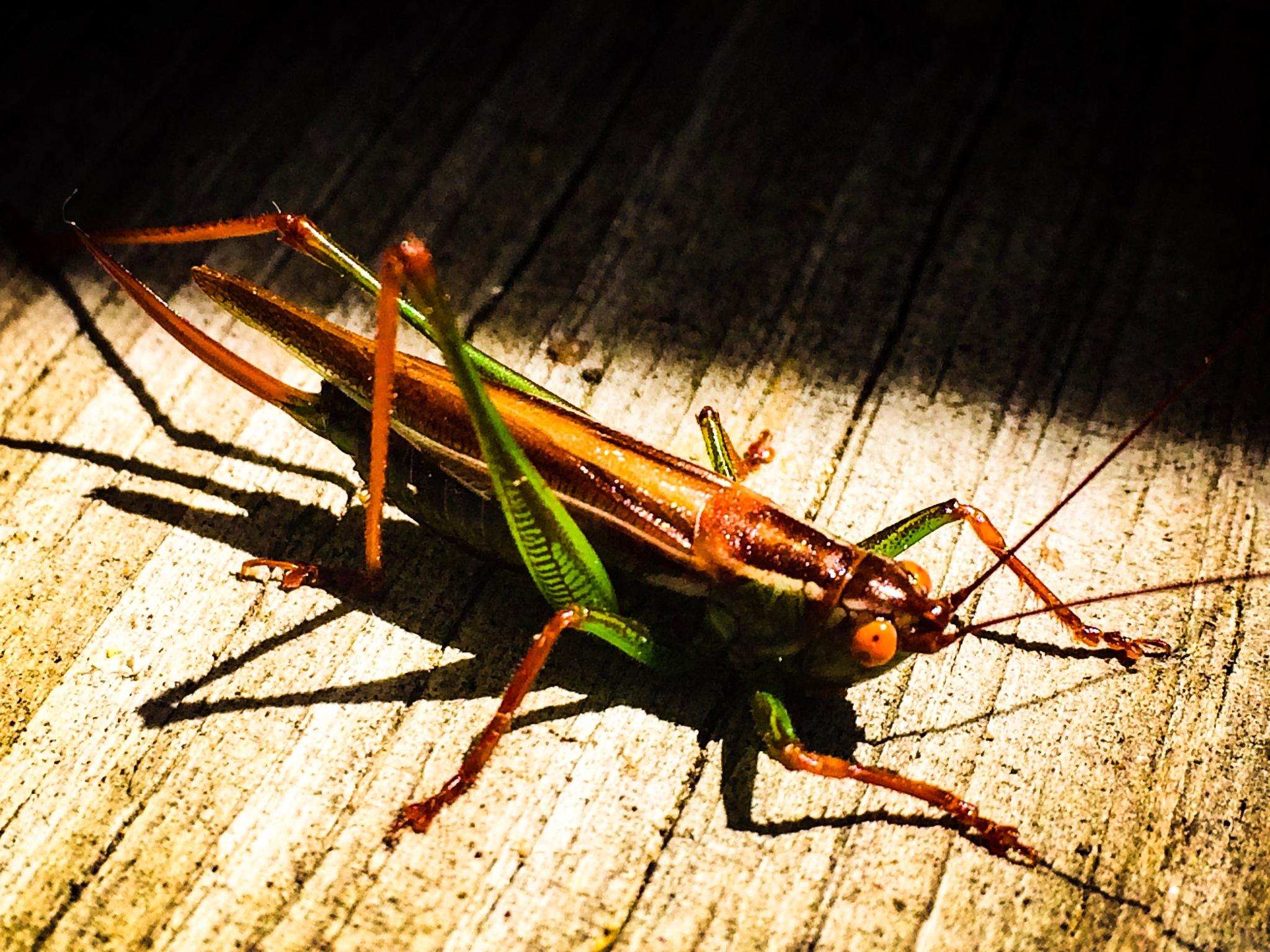 Grasshopper  by Reginald T. Greene II