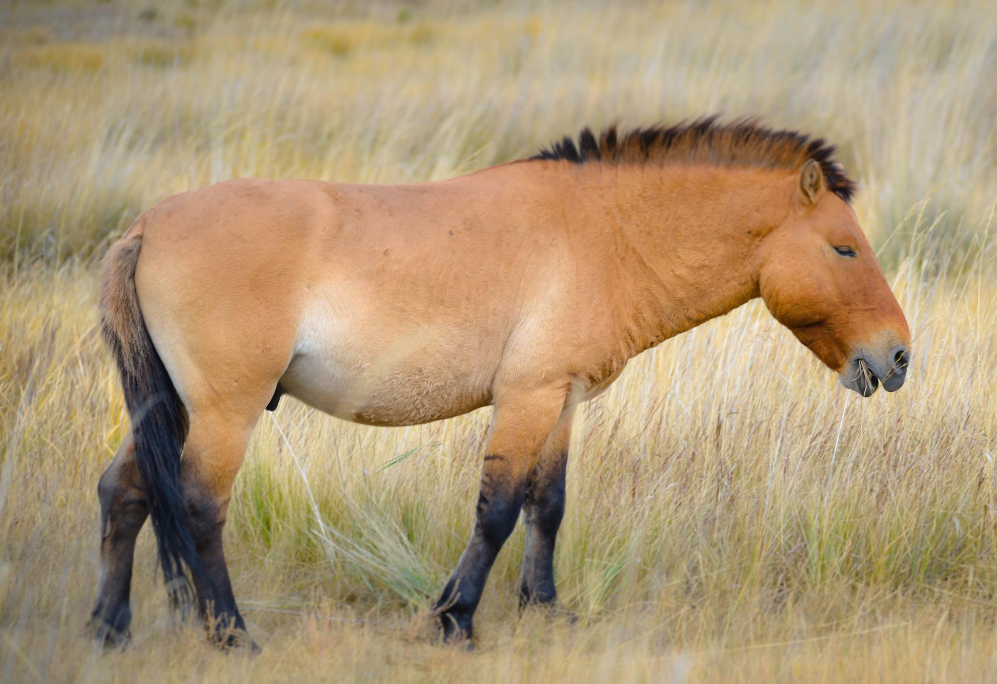 Takhi Stallion by Connie M Van Cleve