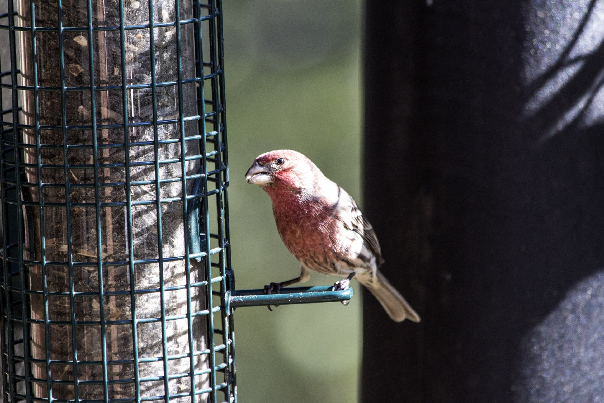 House Finch by Wade Pitcher