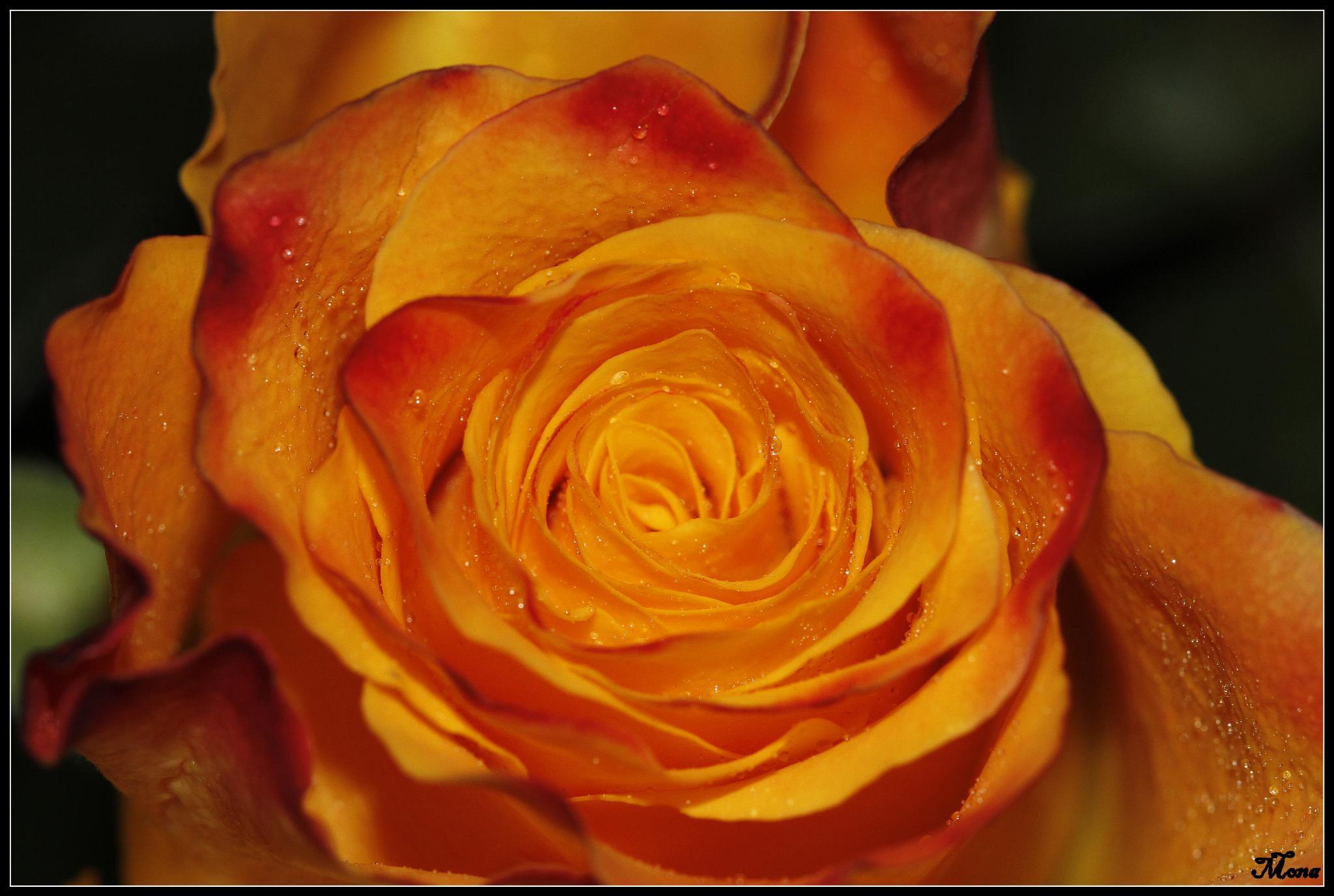 Orange Rose  by mona
