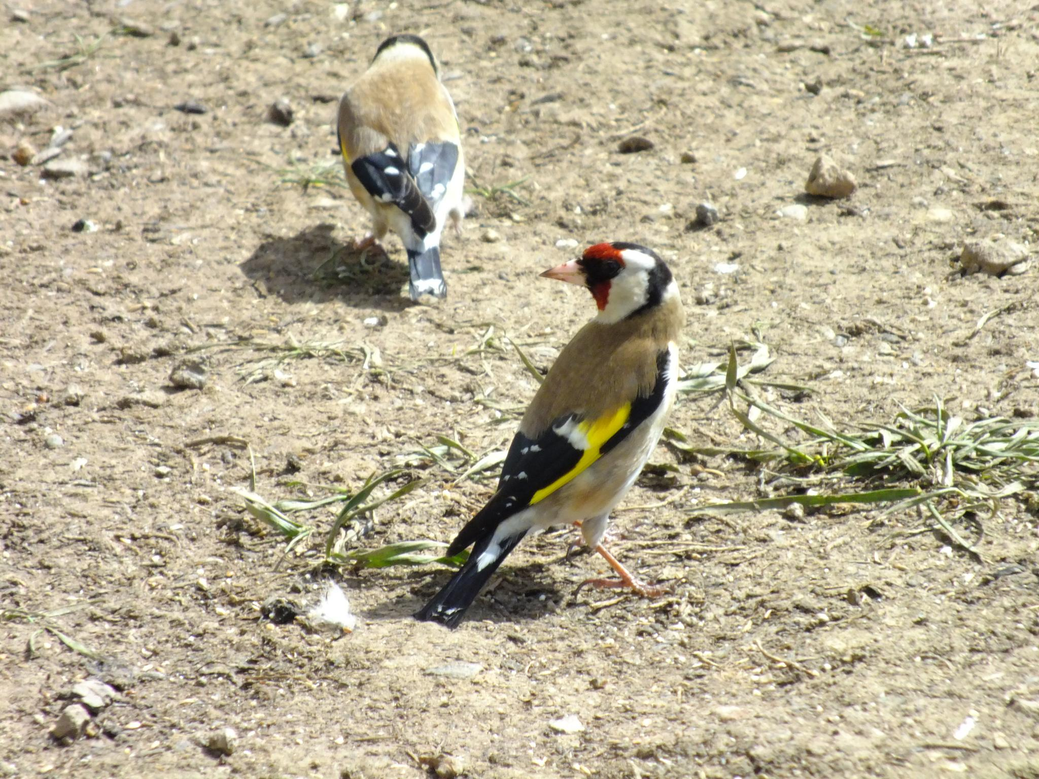 Gold Finch 01 by afrior