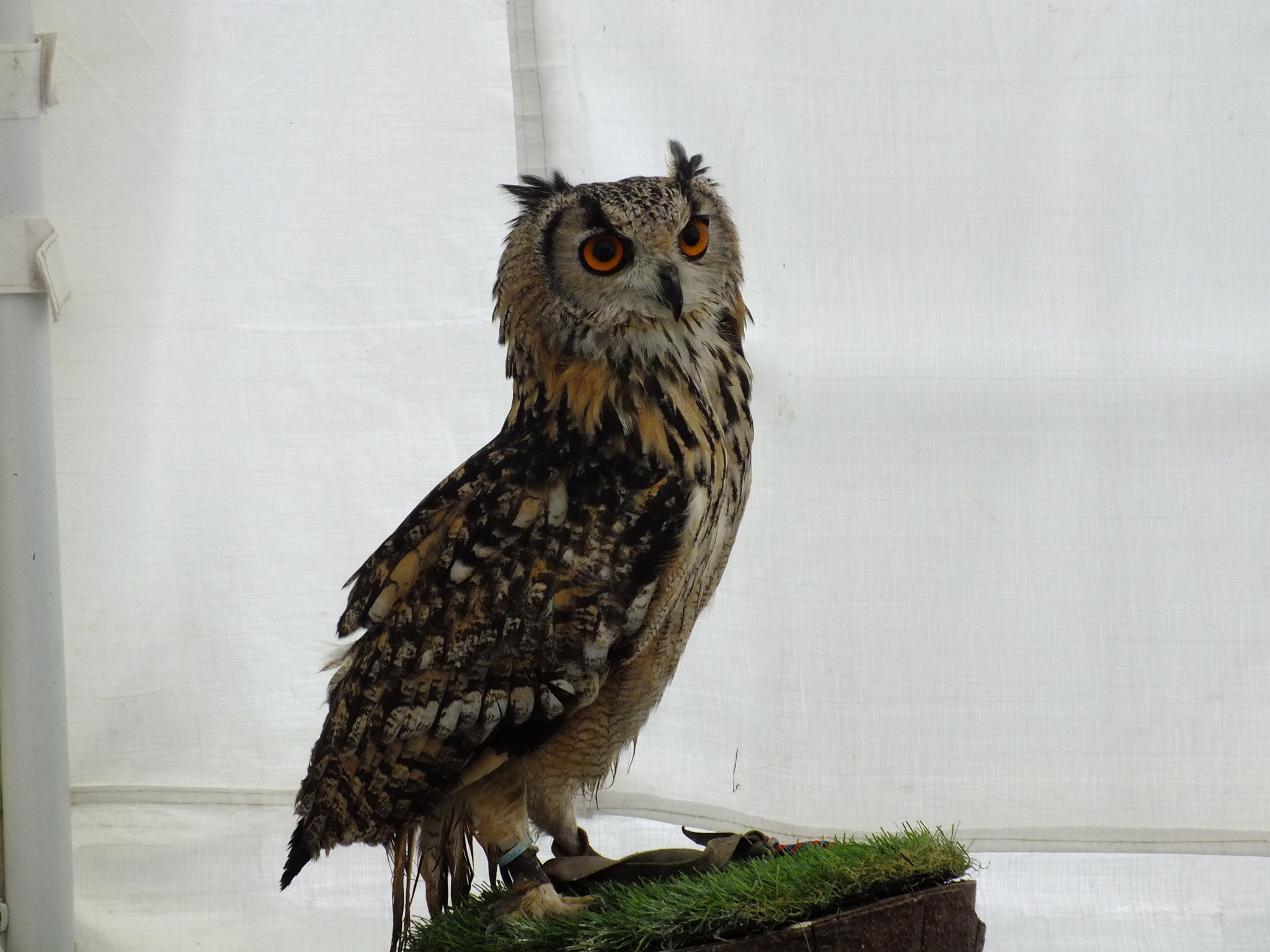 Great Horned Owl by afrior