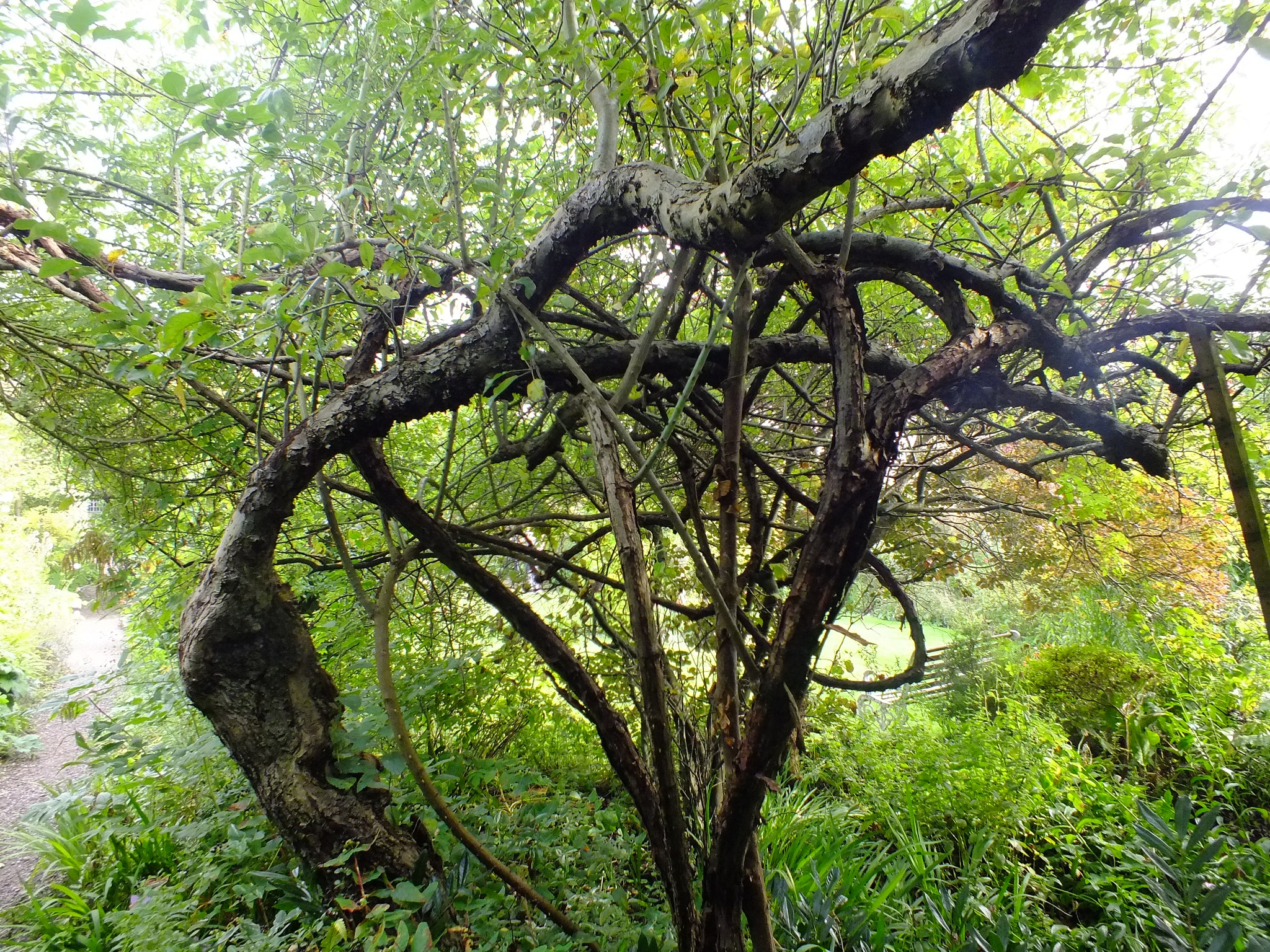 Tangled Trees by afrior