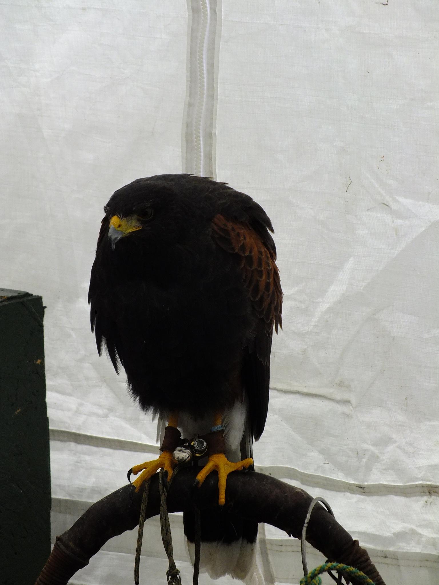 Falcon, Hawk or Eagle? by afrior