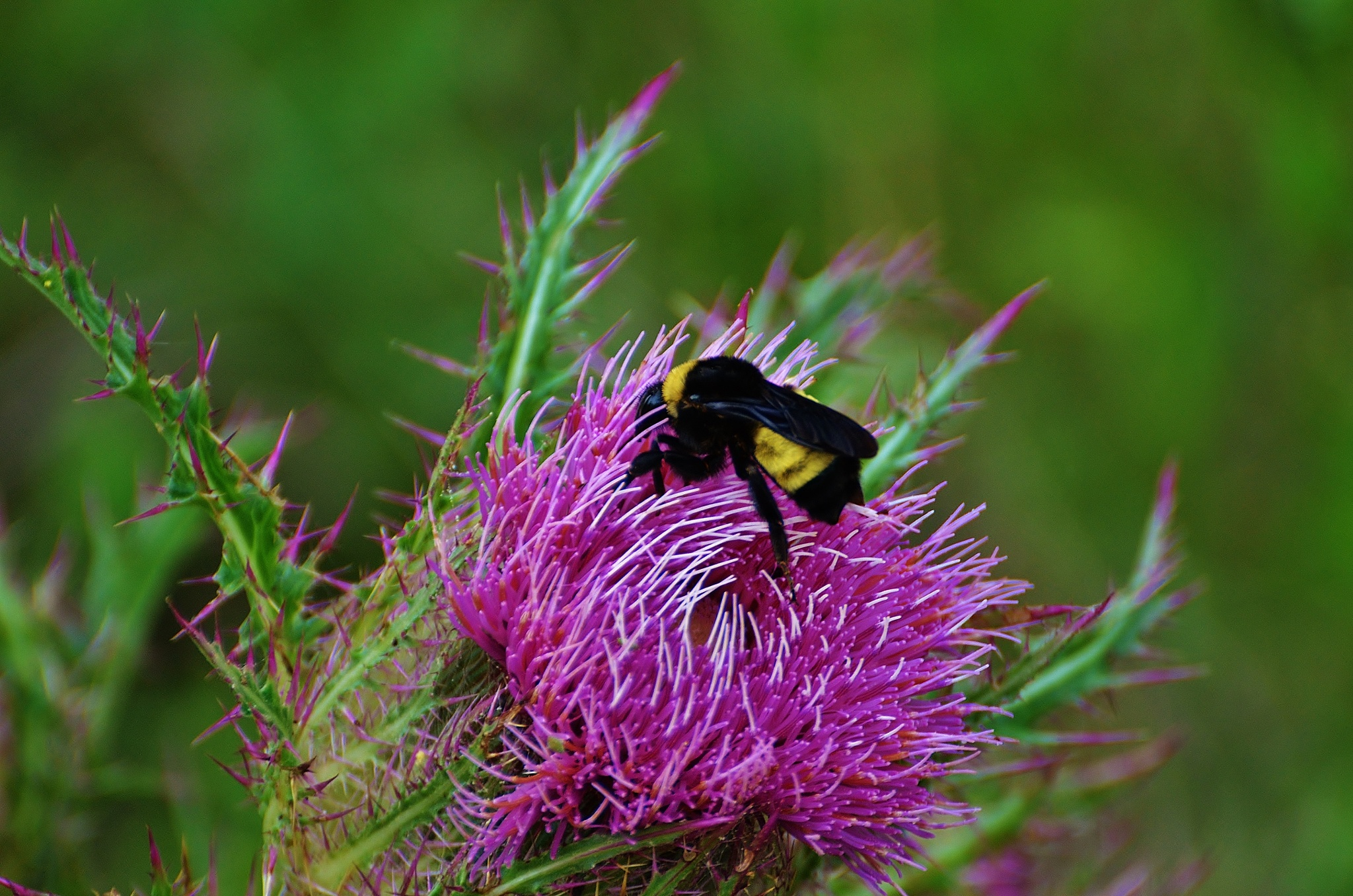 Bumble Bee On Thistle  6413 by Jim Suter