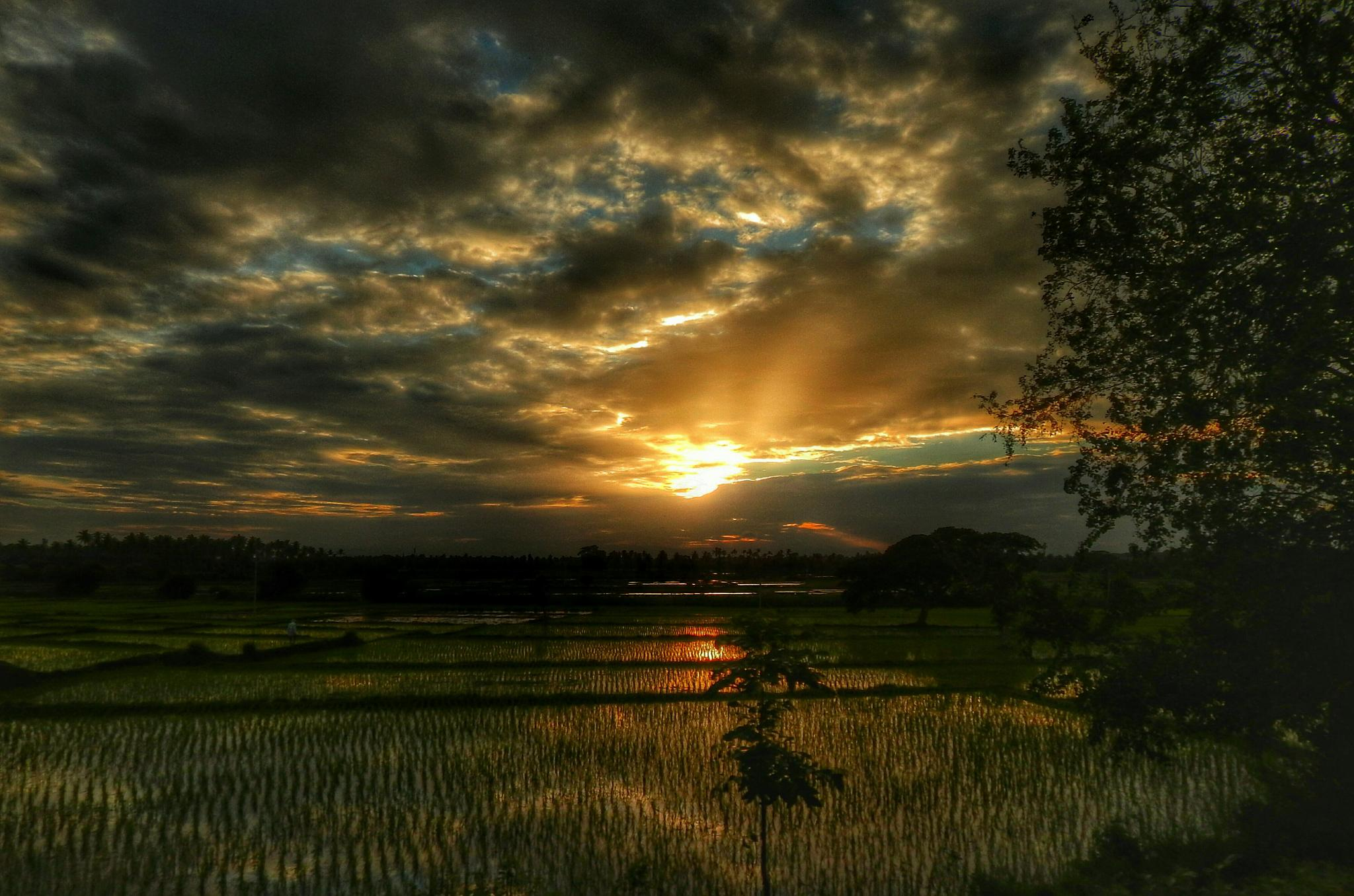Photo in Nature #sunset #light #paddy field #india