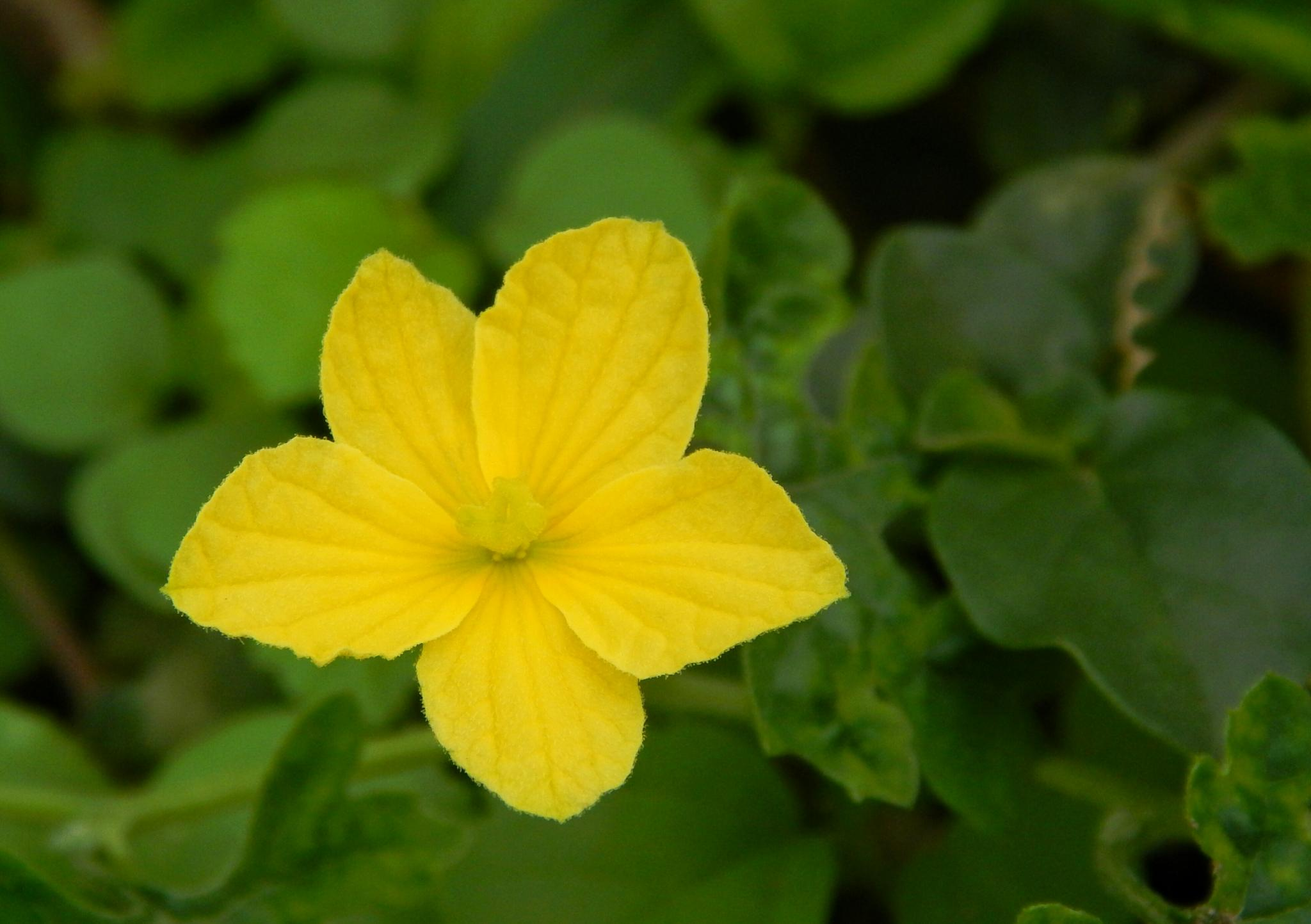 yellow flower by Aritra ghosh