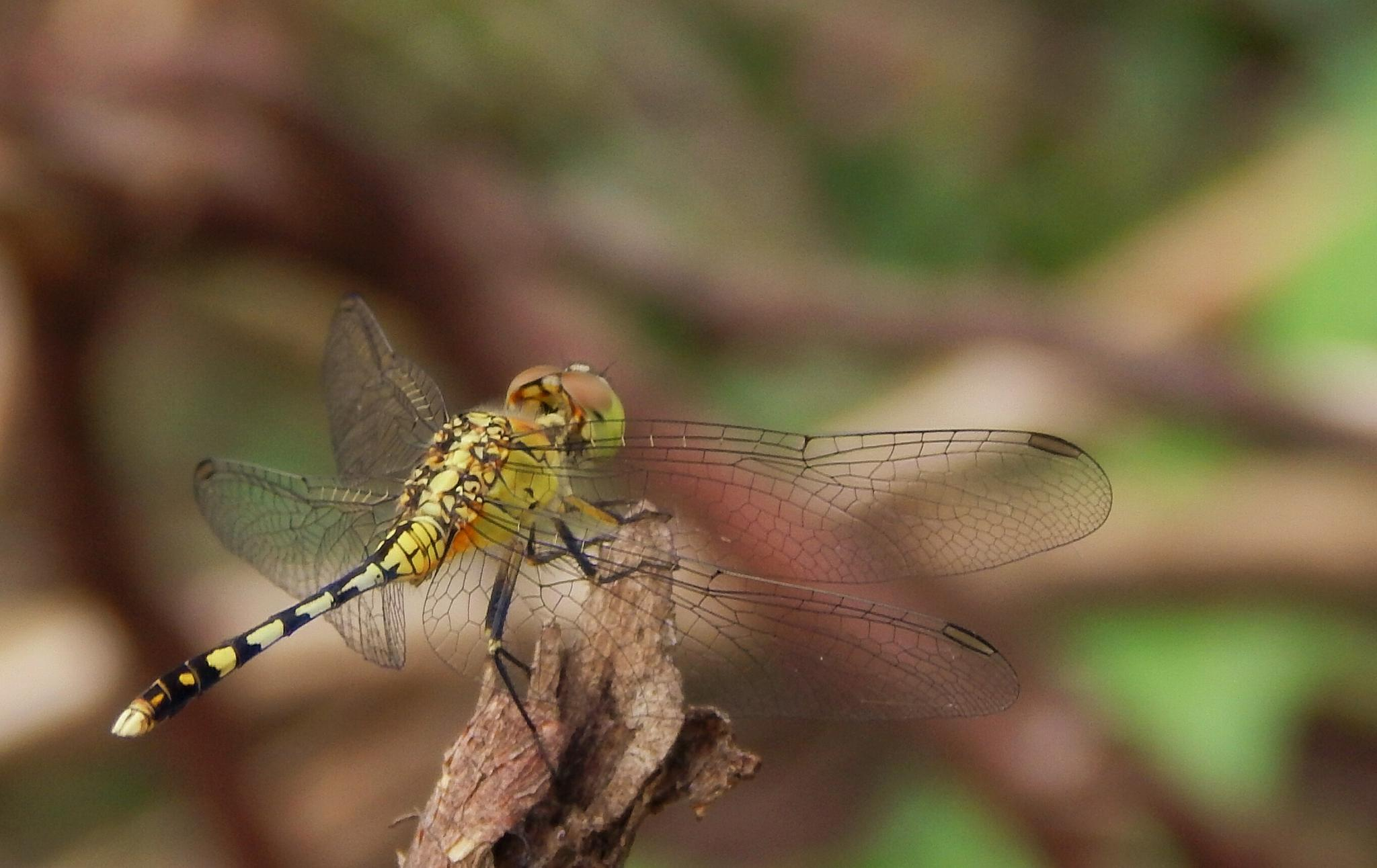 dragonfly 5 by Aritra ghosh