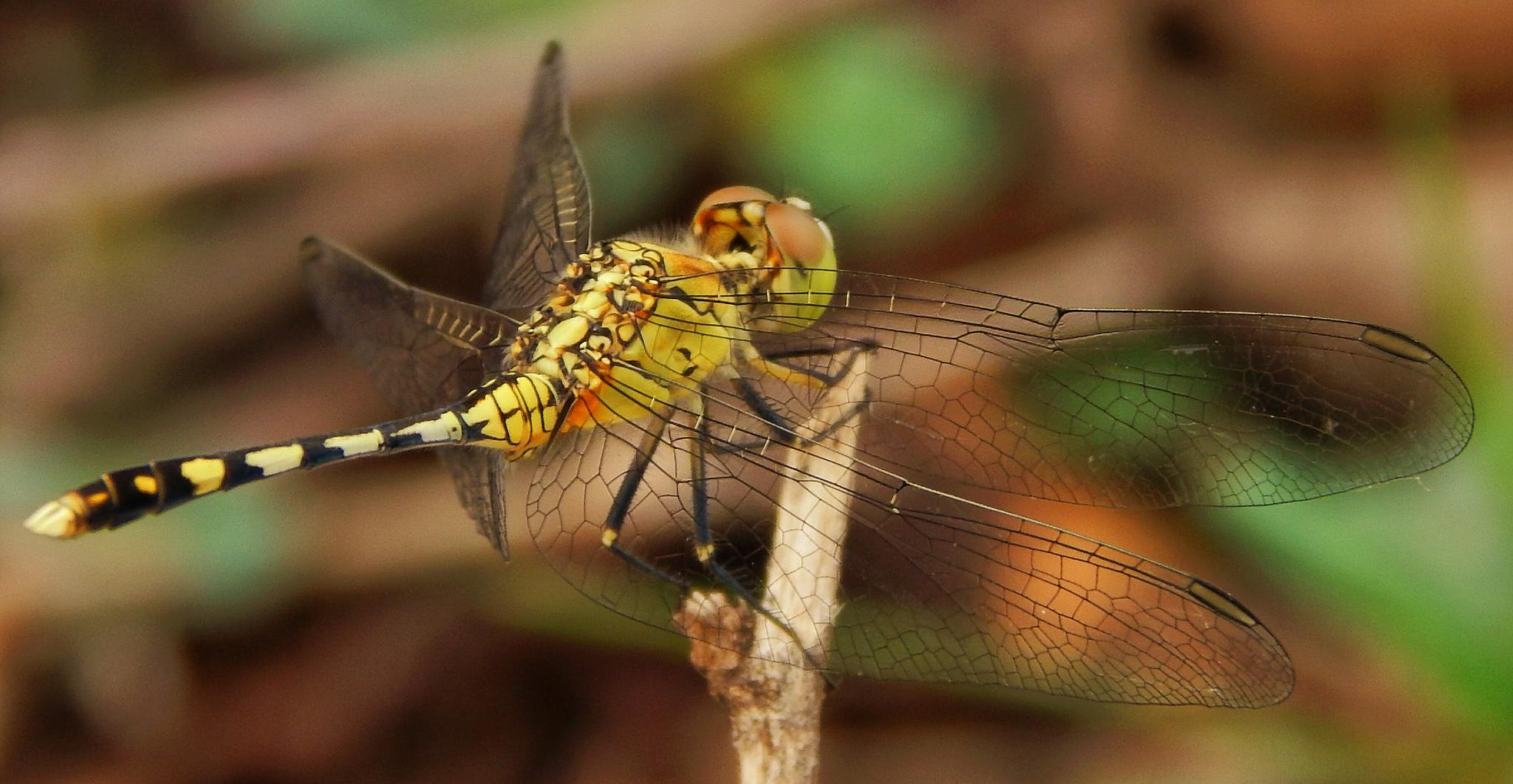 dragonfly 6 by Aritra ghosh