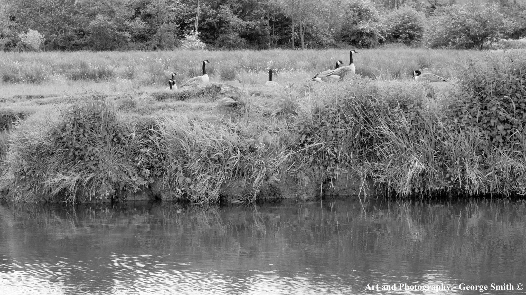 Canada Geese in B&W by GeorgeSmith Photography