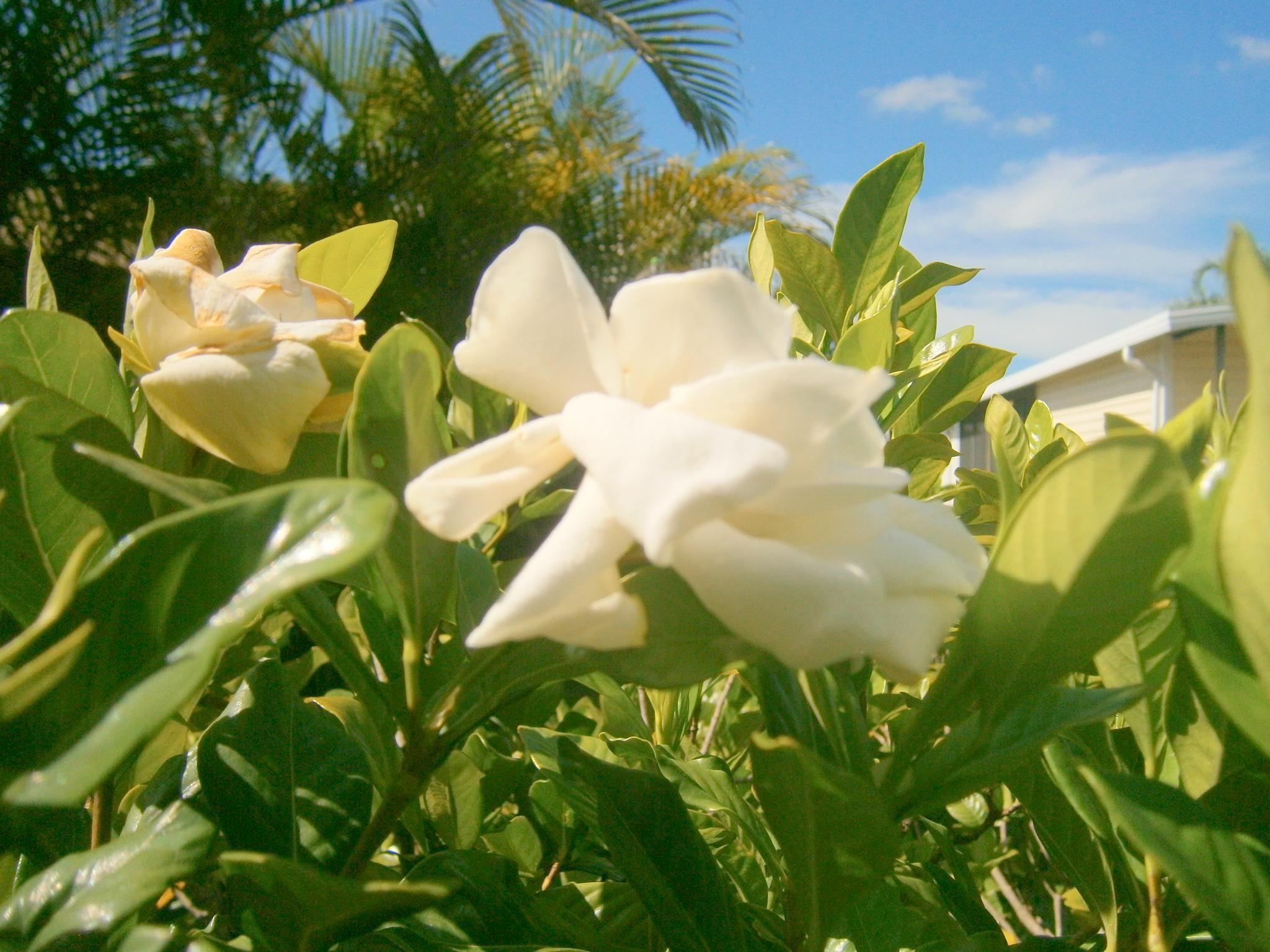 Gardenia by Marion