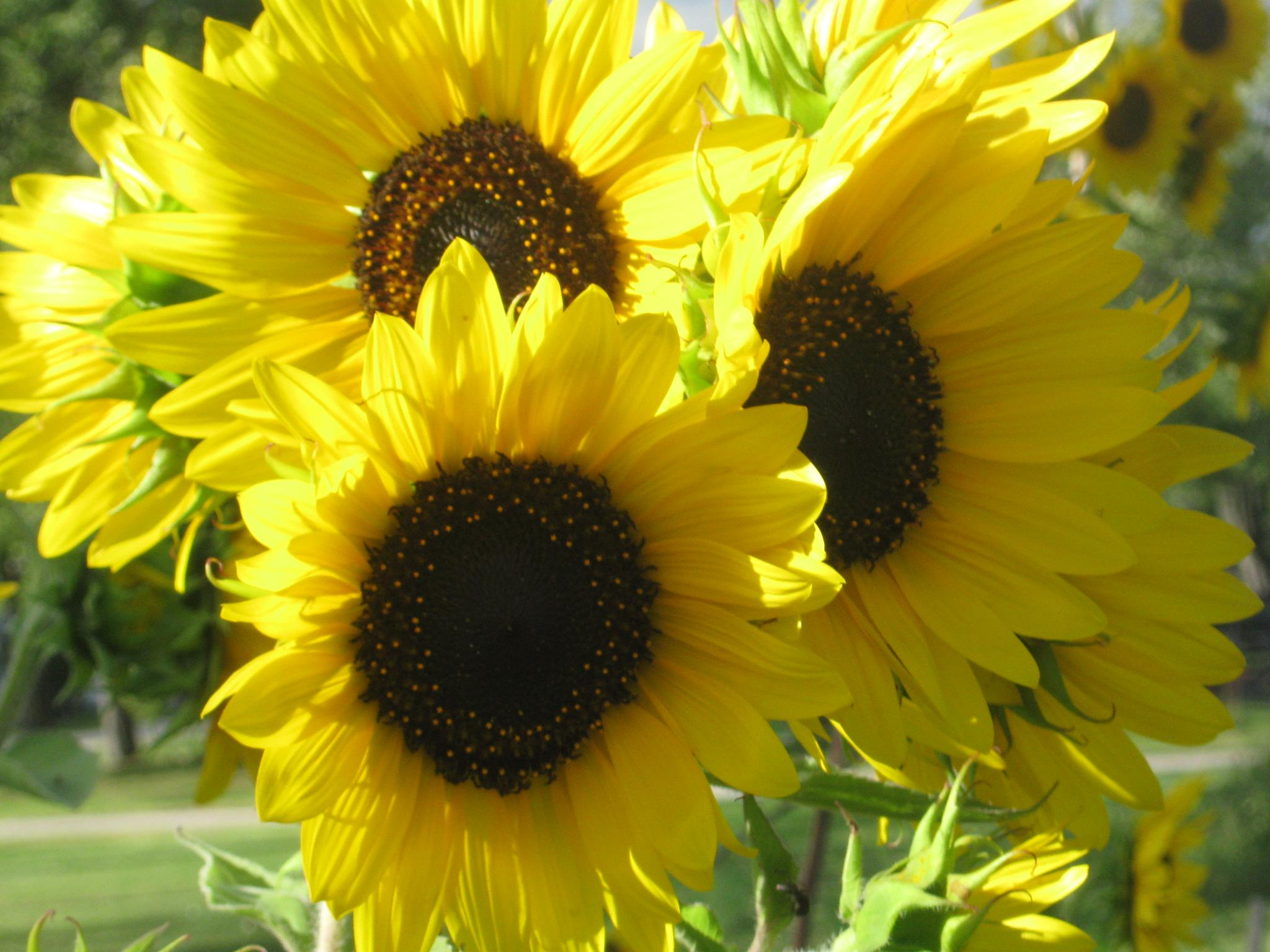 sunflower bouquet by Elora Young Longstreth