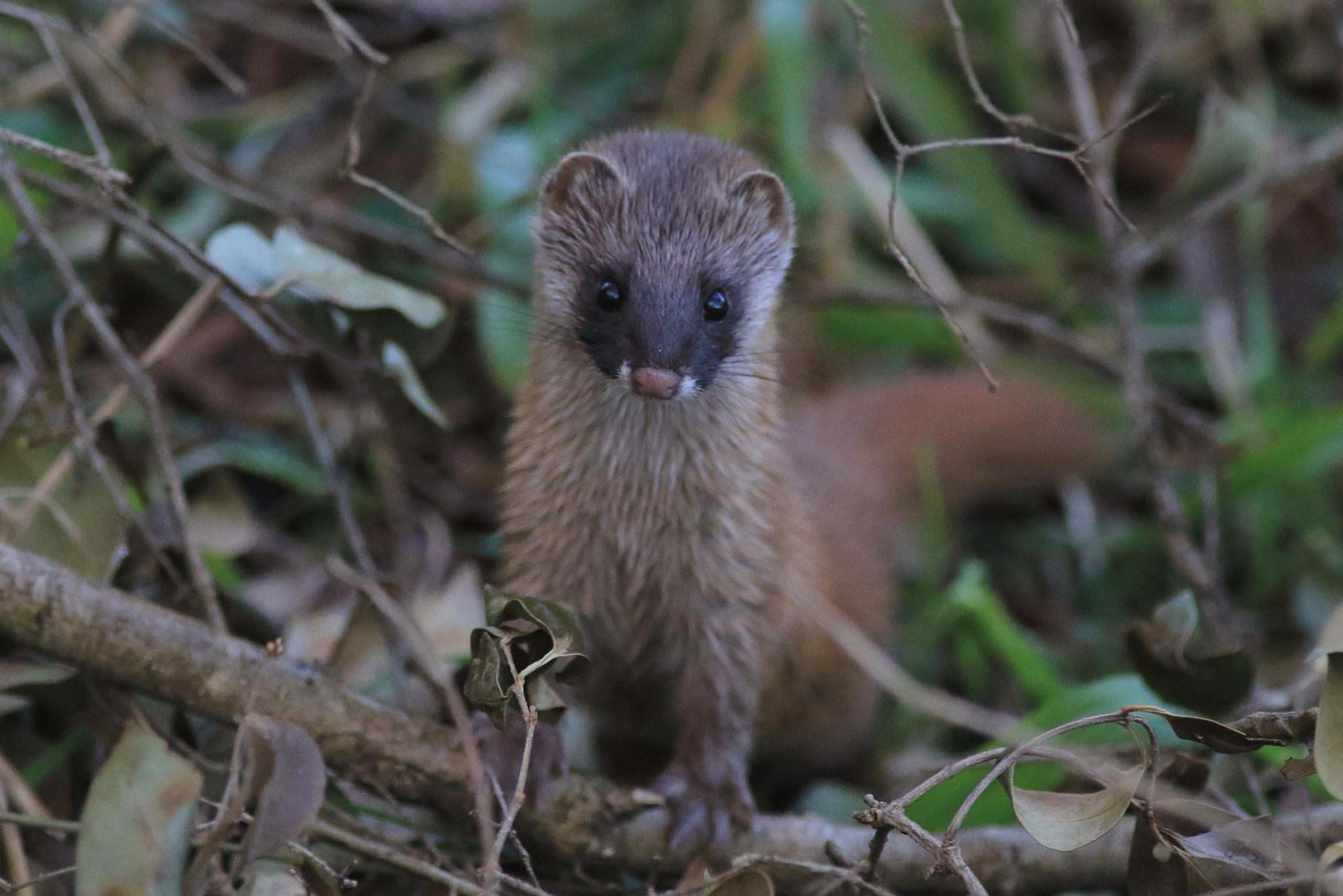 Photo in Animal #weasel #animal #nature