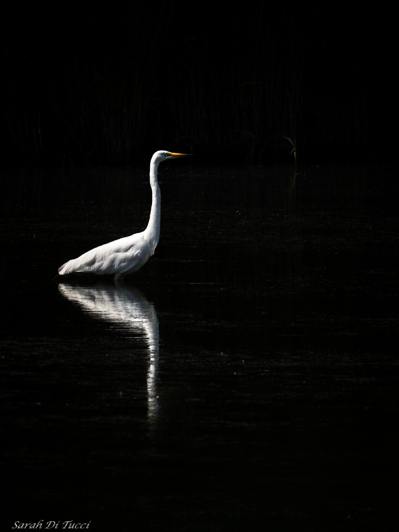 White heron by Sarah Di Tucci