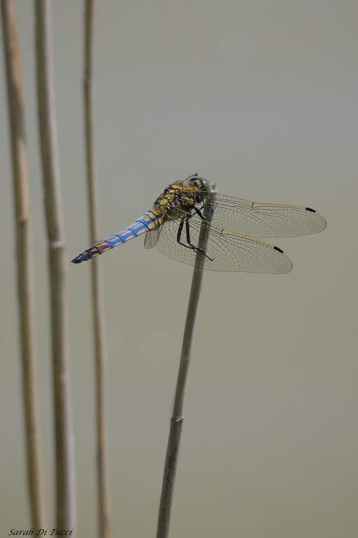 Dragonfly by Sarah Di Tucci