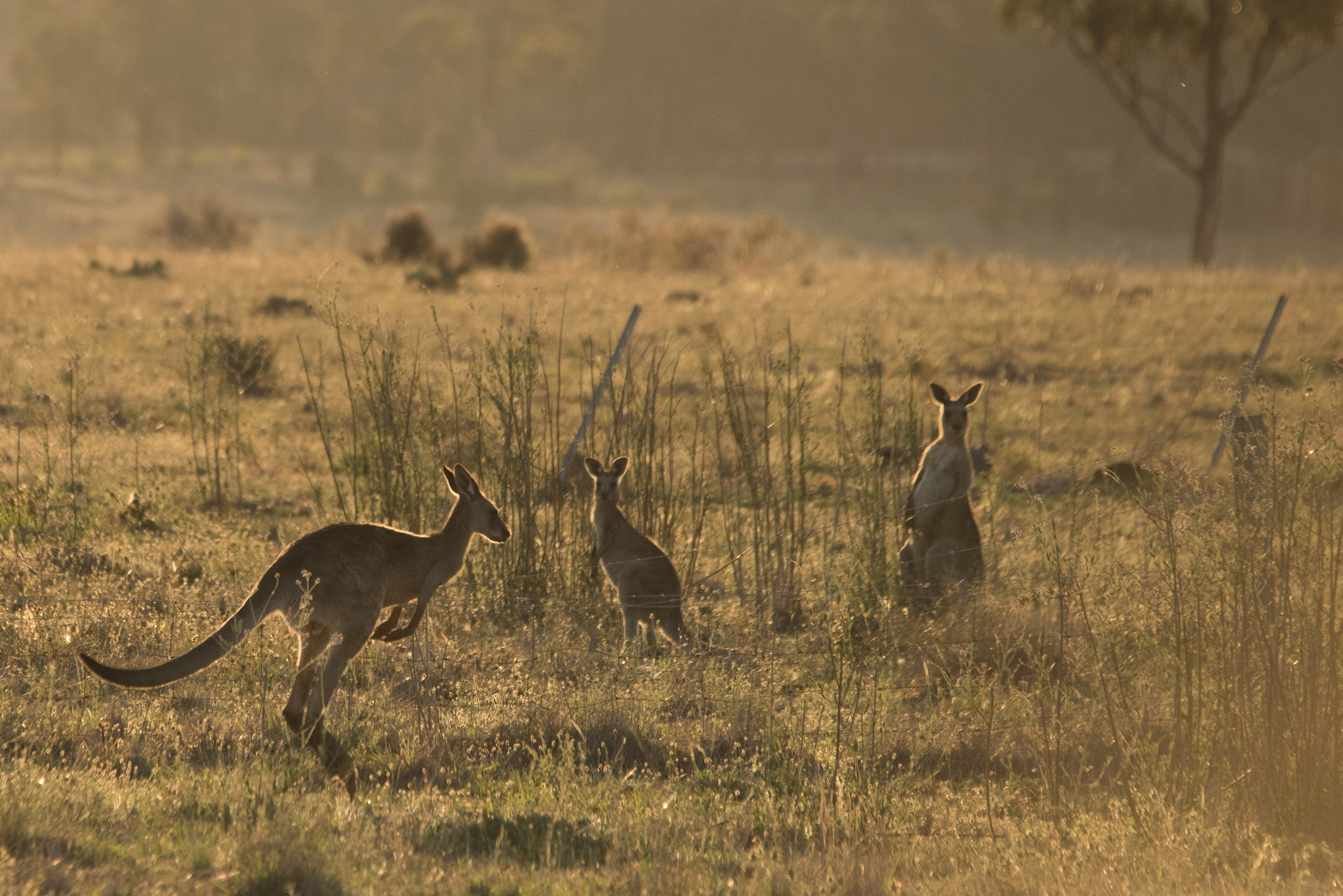 roos and barbed wire fences  by Karl Neuman