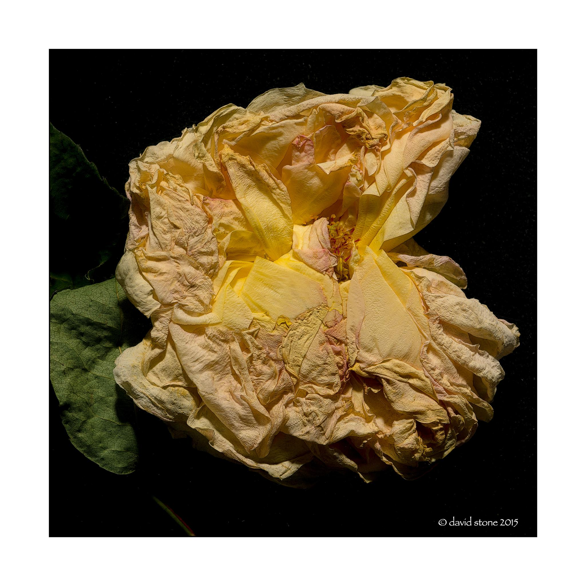Yellow Rose by StoneyStone