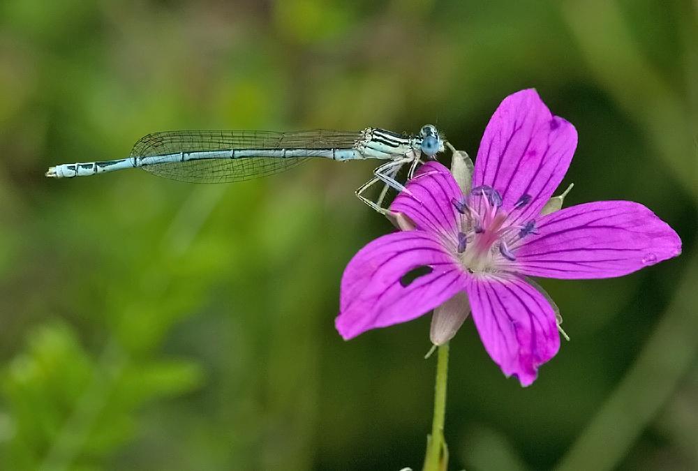 Dragonfly by karlvock